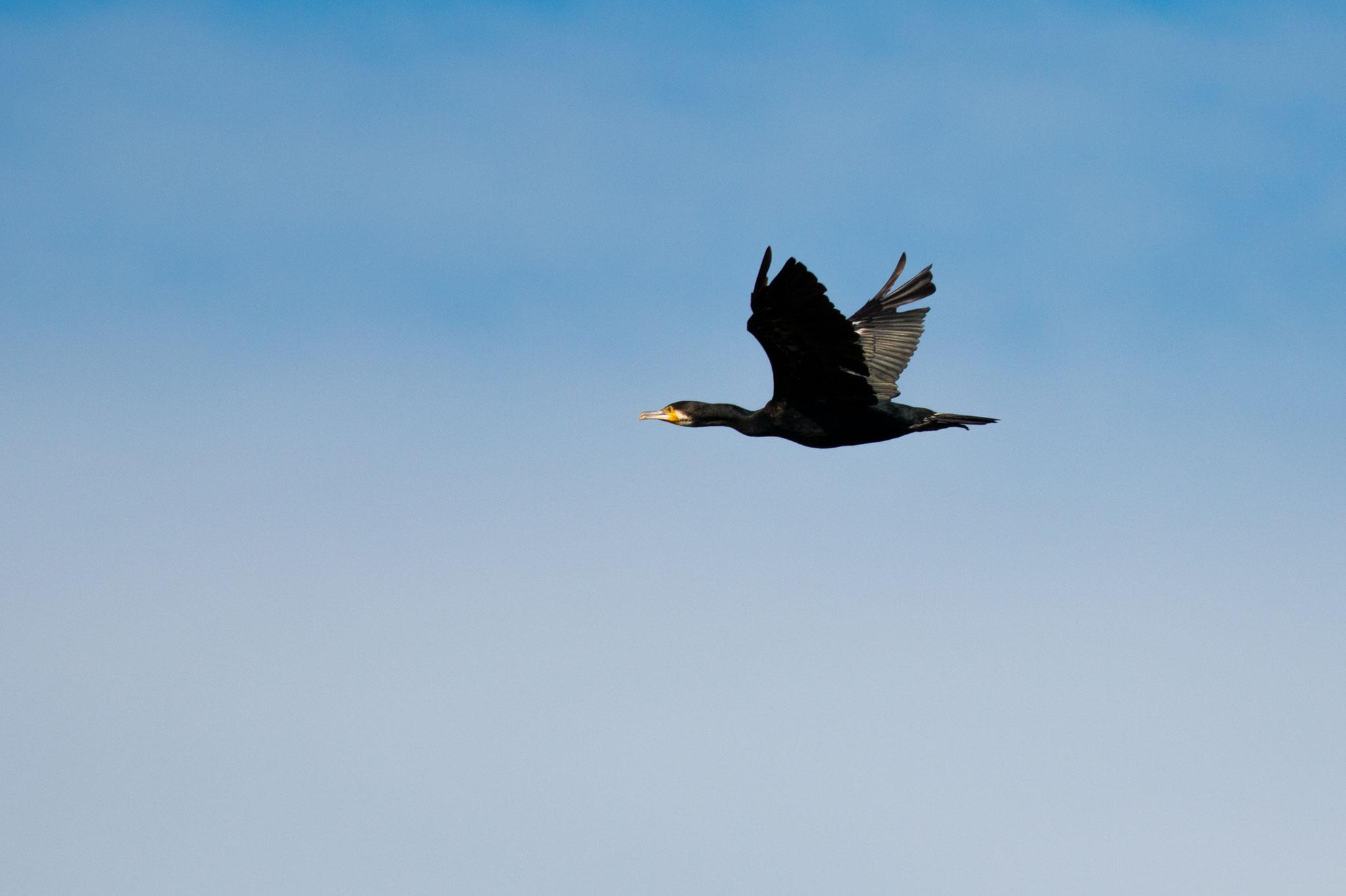 Fliegender Kormoran