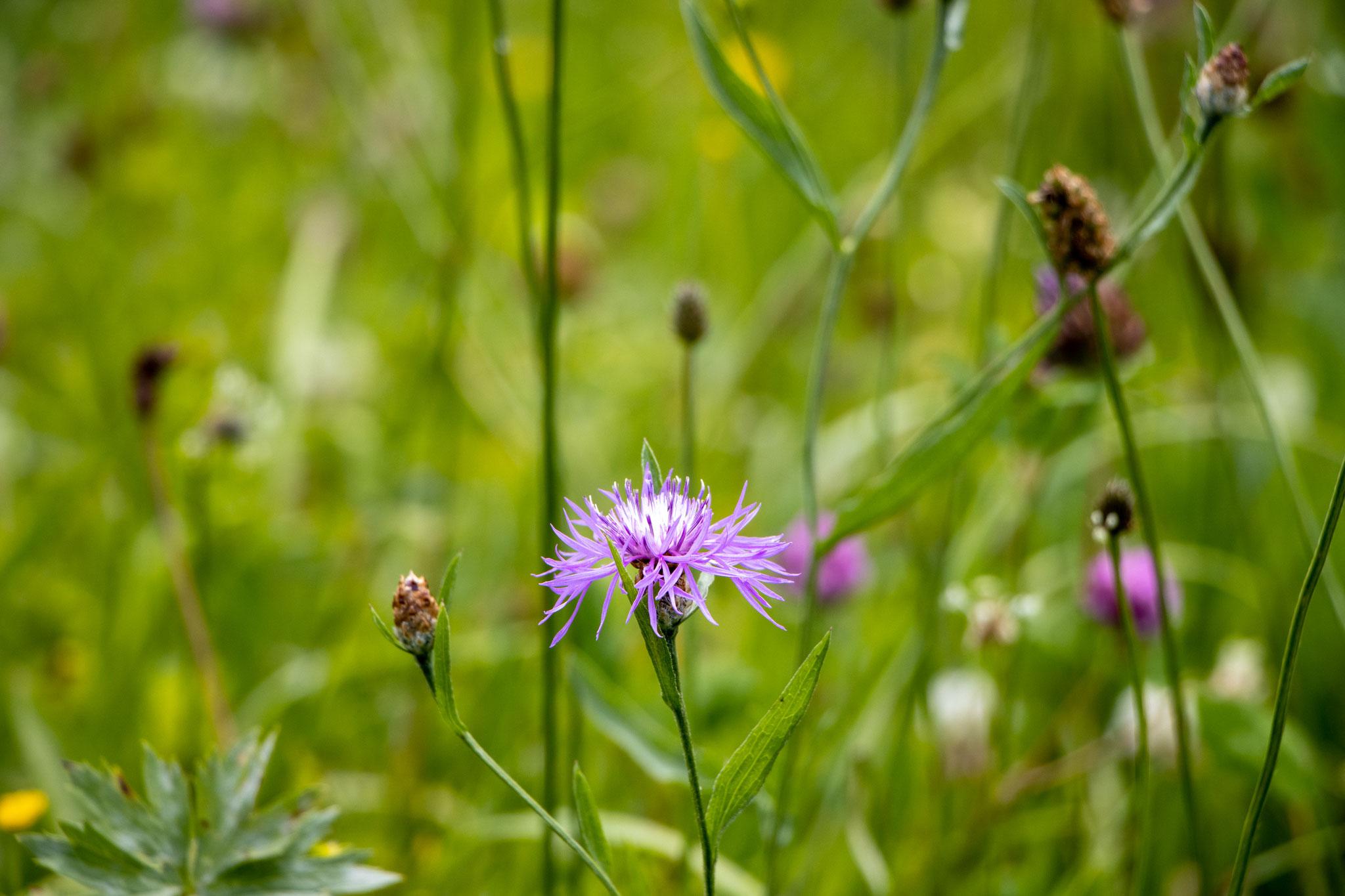 Wiesen-Flockenblume (Centaurea jacea) (BB)
