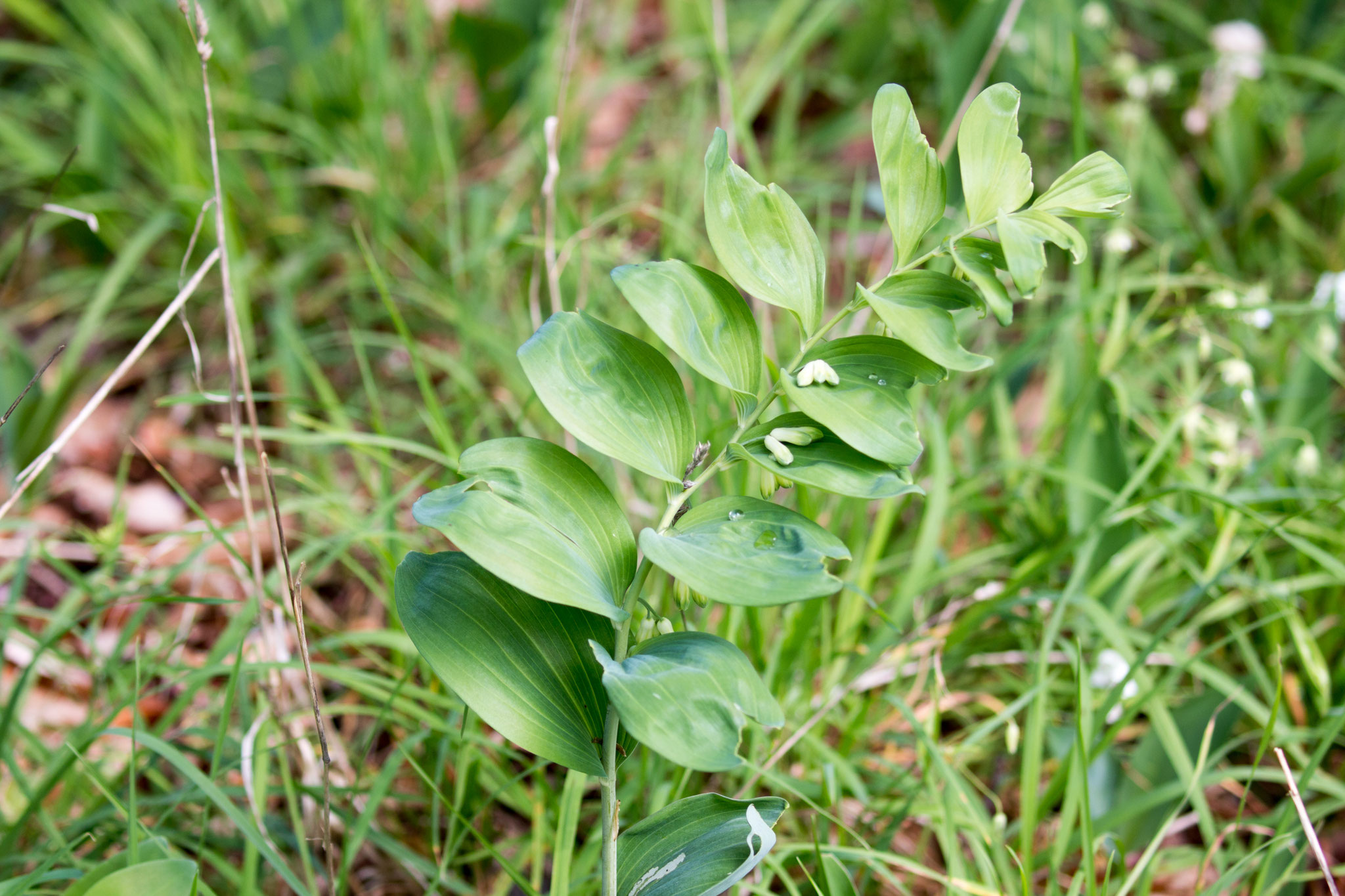 Salomonsiegel (Polygonatum)