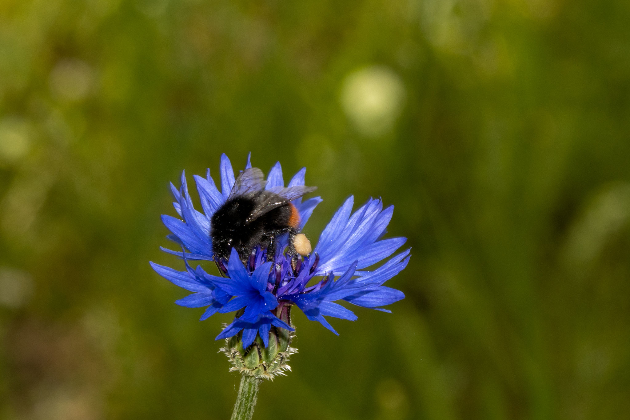 Steinhhummel [Bombus lapidarius] mit Pollenpaket am Bein (Foto: B. Budig)