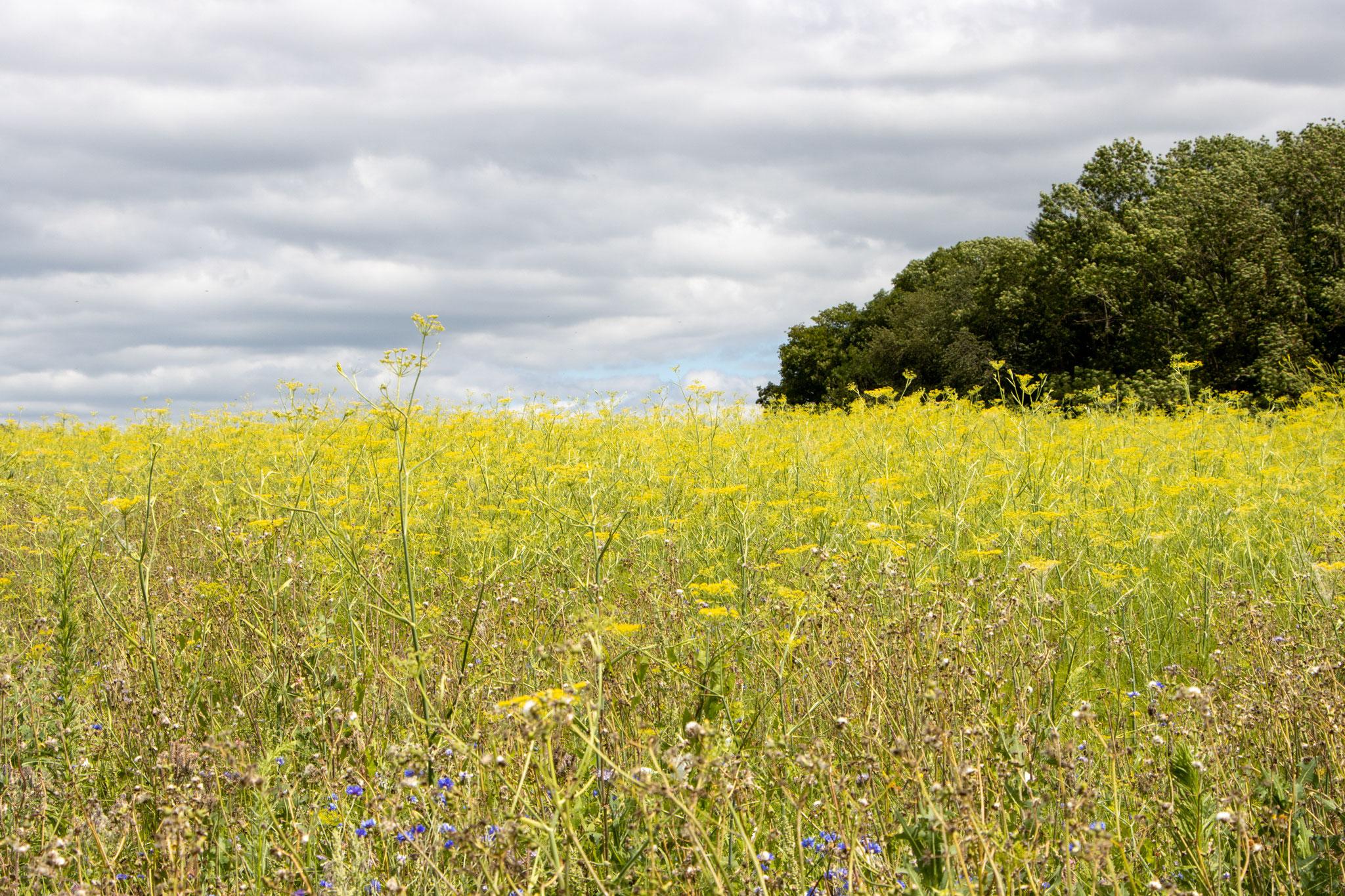 Ein riesiges Feld mit Fenchel (Foeniculum vulgare) (HB)