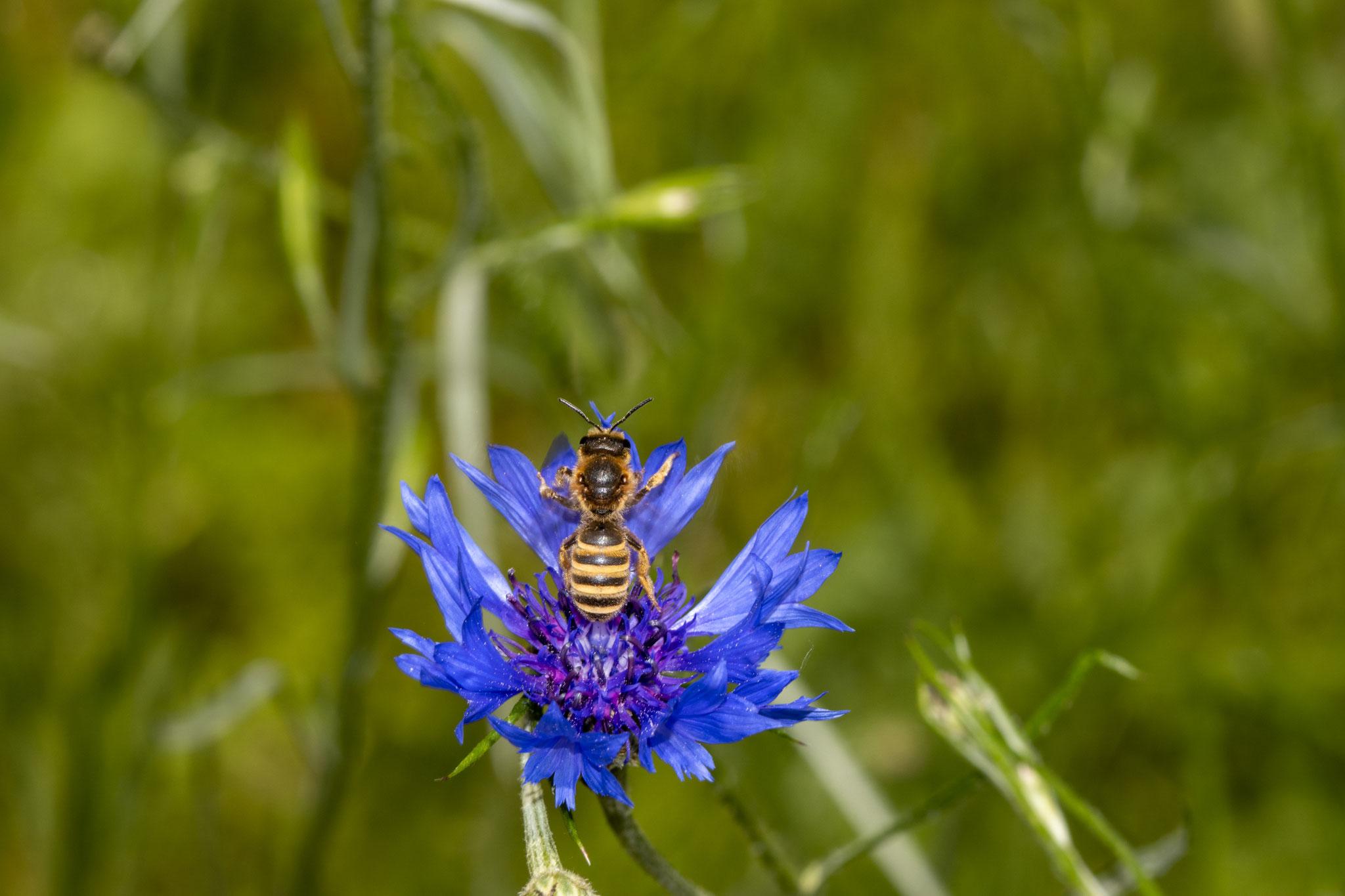 Gelbbindige Furchenbiene [Halictus scabiosae] (Foto: B. Budig)