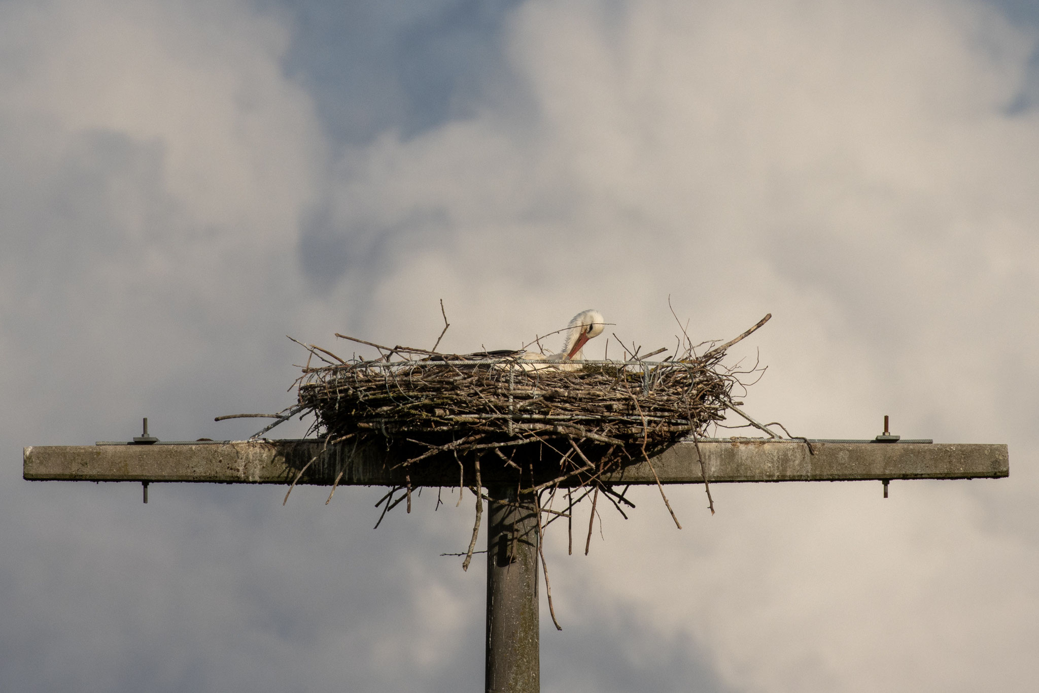 Brütender Storch in der Nisthilfe am 19.05.2021 (Foto: B. Budig)
