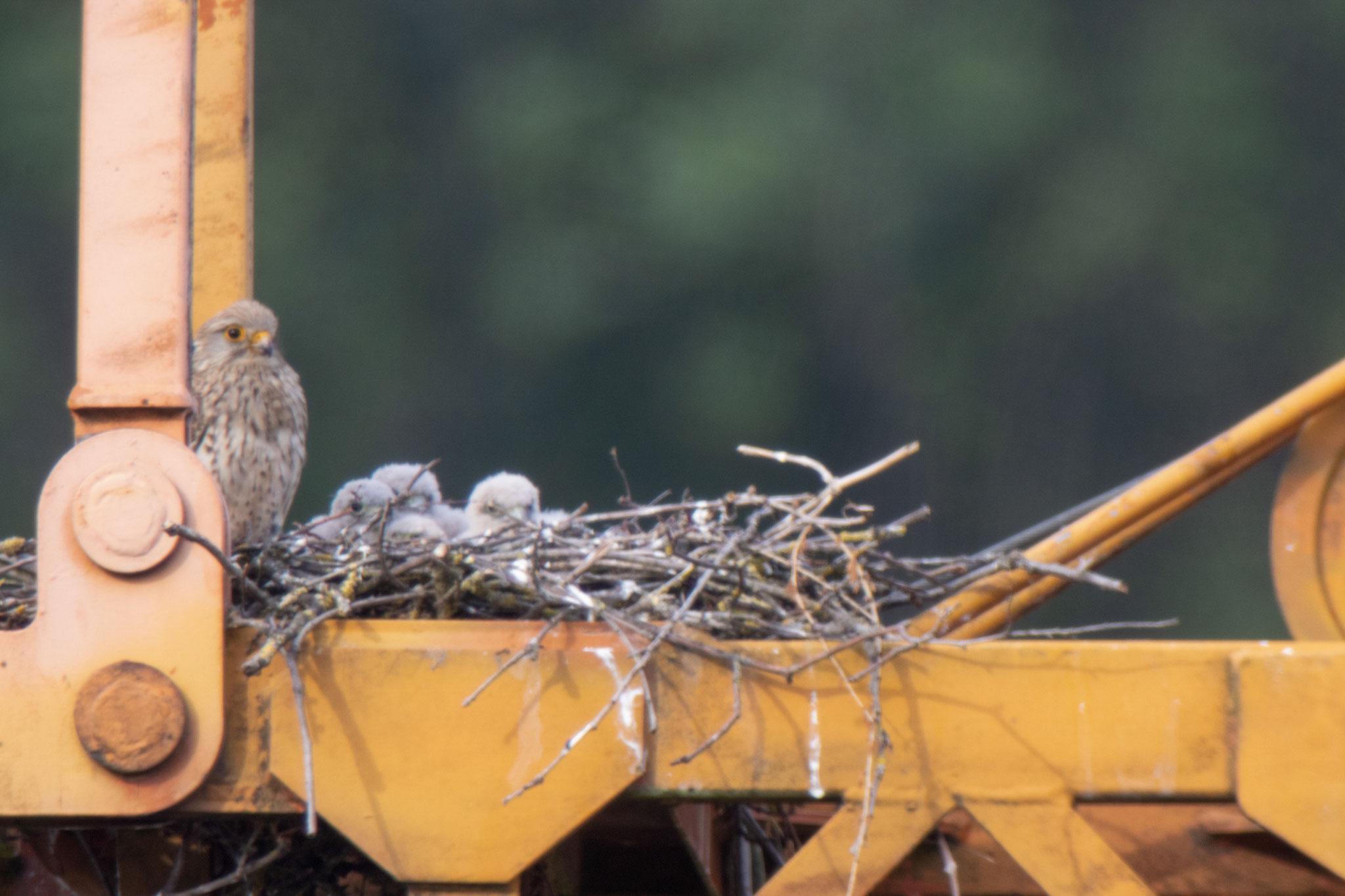 Vier Jungvögel im Nest am 08.06.20 (Foto: B. Budig)