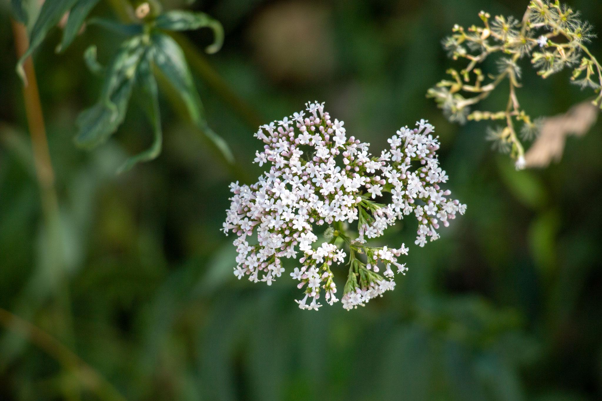 Blütenstand eines echten Baldrians (Valeriana officinalis) (BB)
