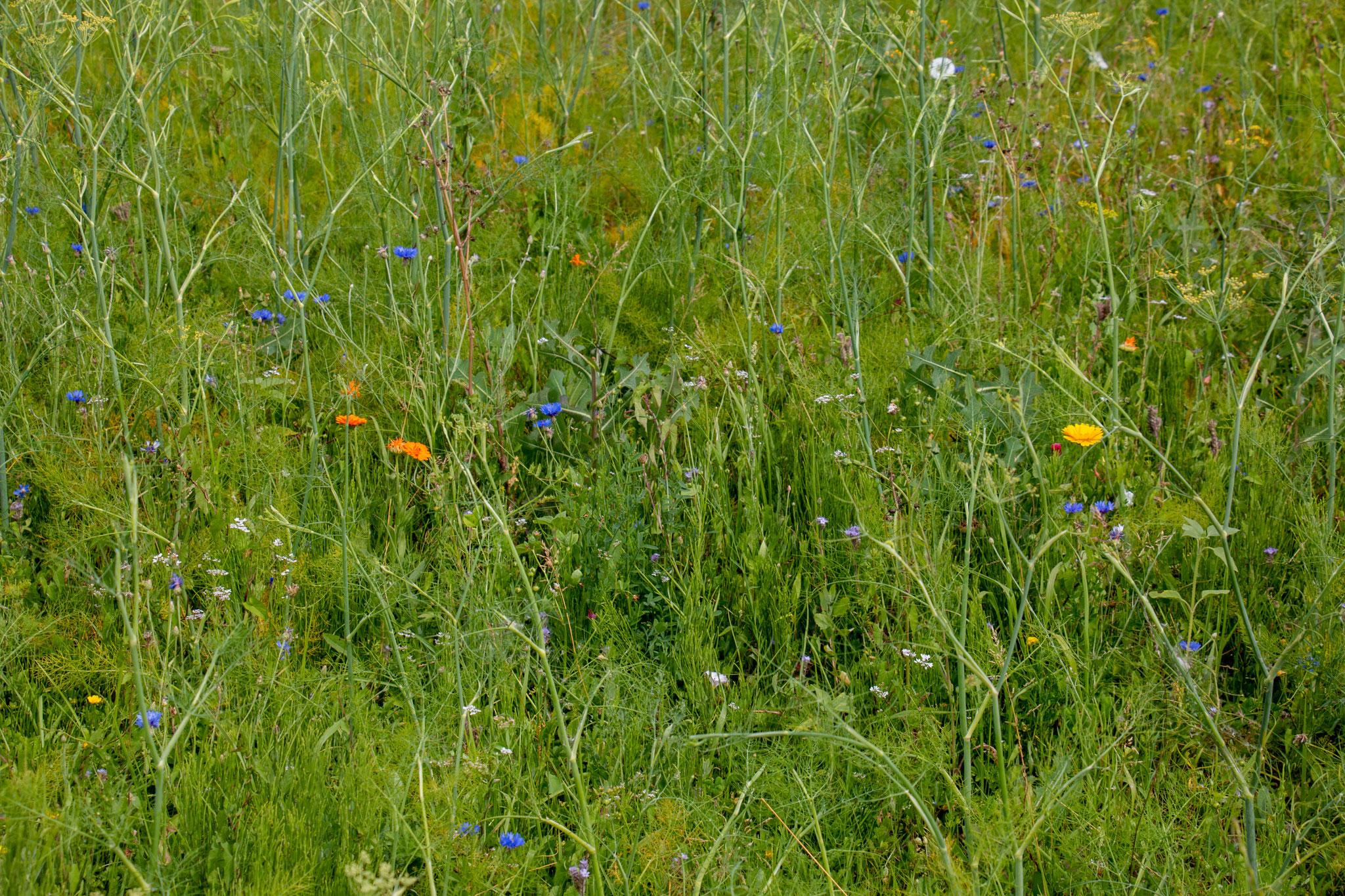 Ringelblumen (Calendula officinalis) in unterschiedlichen Farbnuancen (BB)