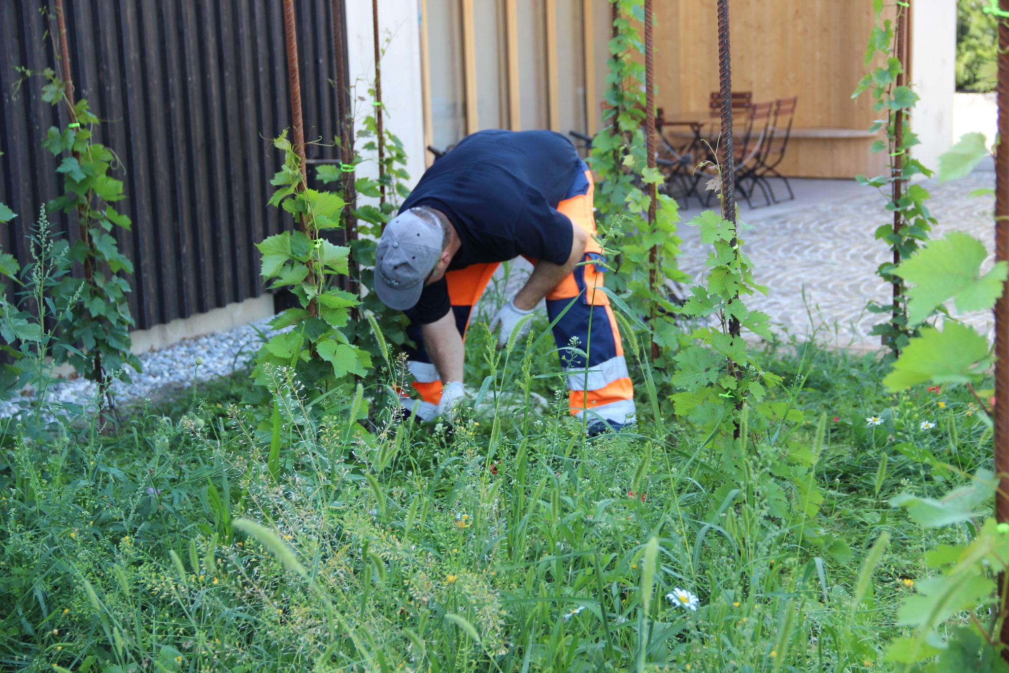 Urs Manzoni schont die Blumen und  jätet sorgfältig von Hand.