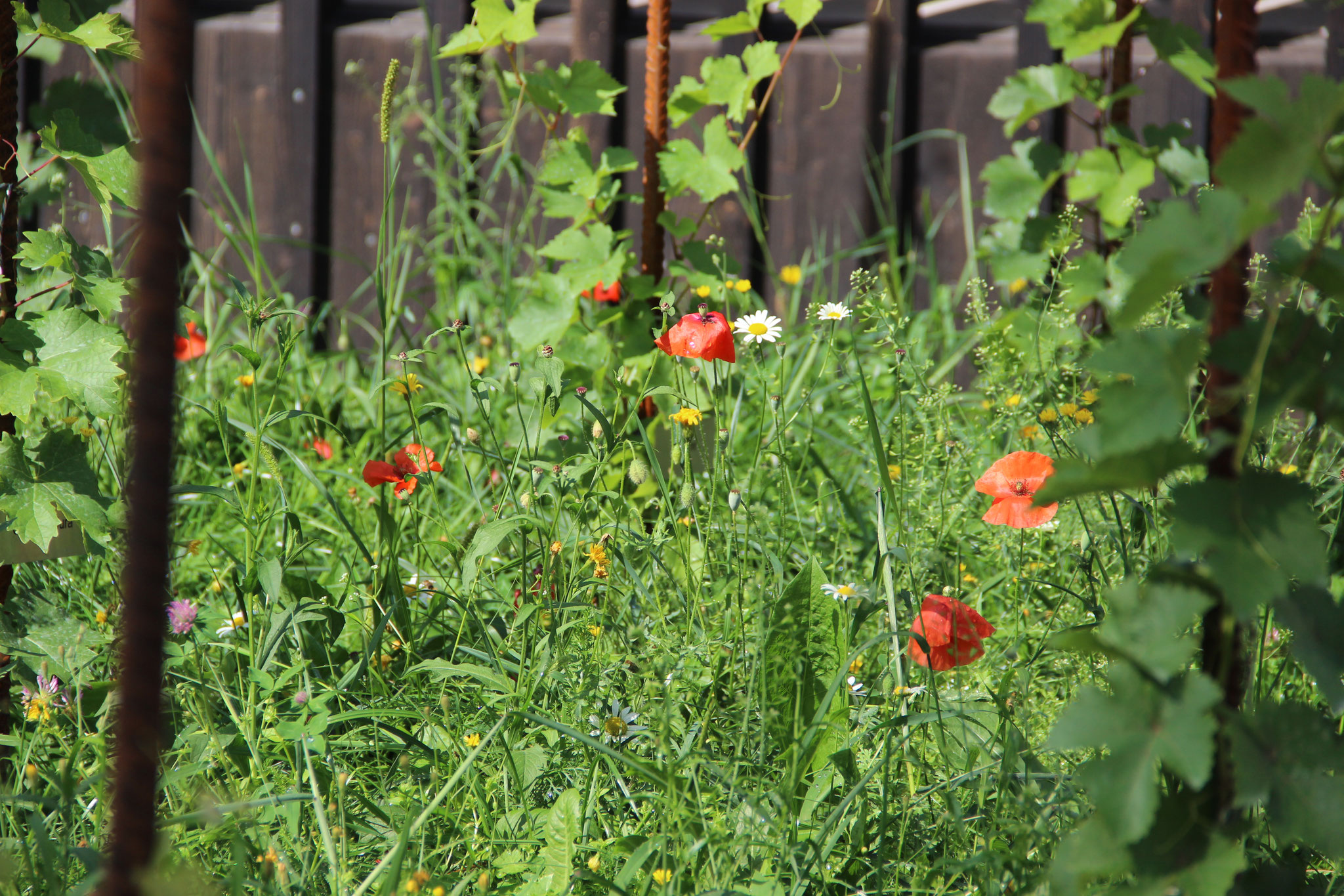 Die Blumenwiese wird erst 2020 voll erblühen.