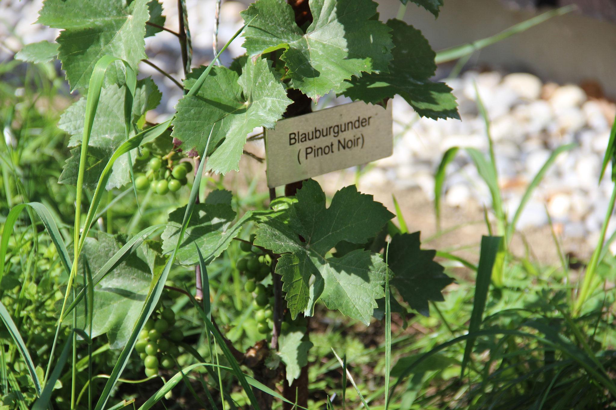 Beim Blauburgunder kann bereits mit einer kleinen Ernte gerechnet werden.