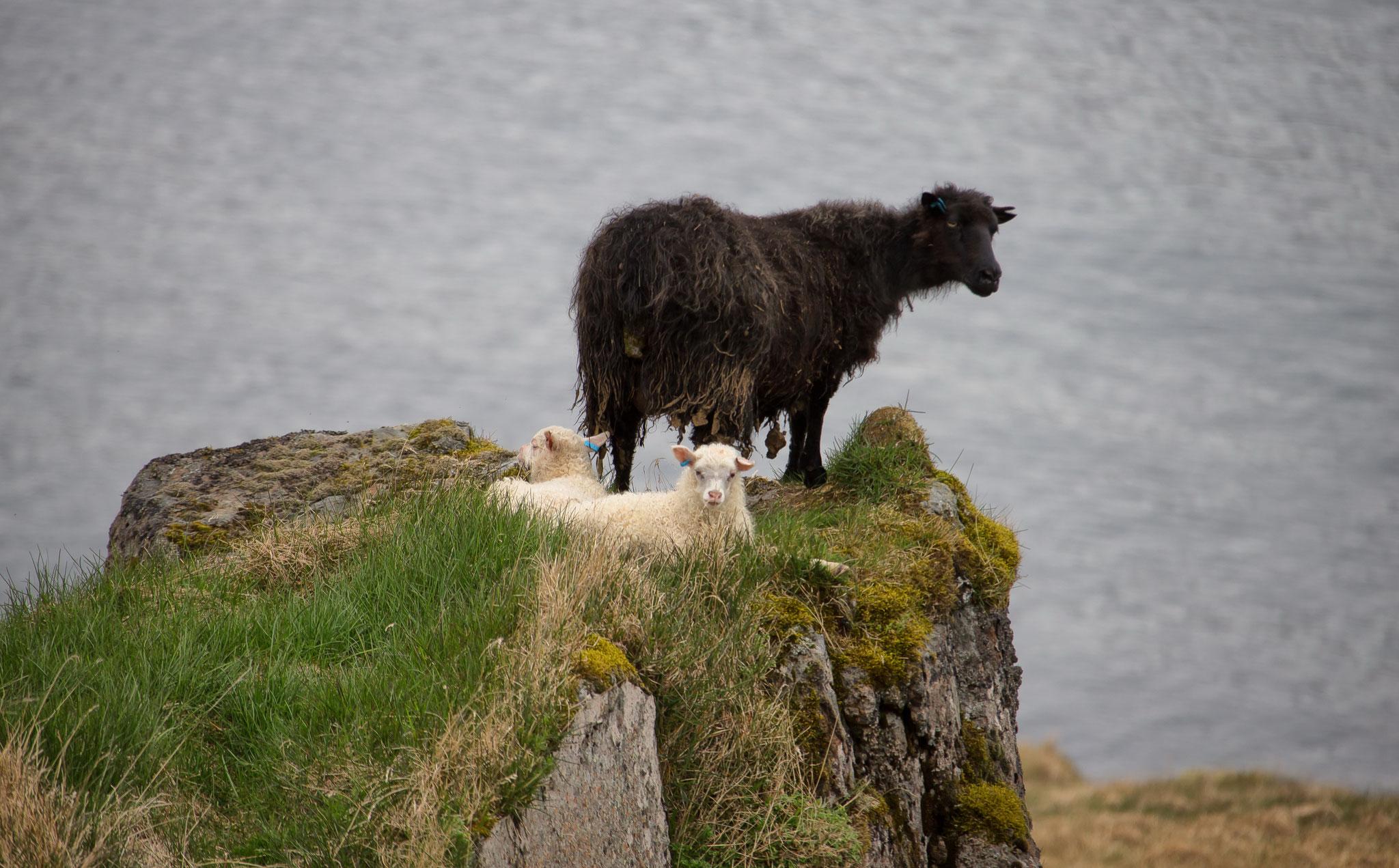 © Hans G. Lehmann | Mutterschaf mit zwei Lämmern – Ruheplatz mit Aussicht, Island