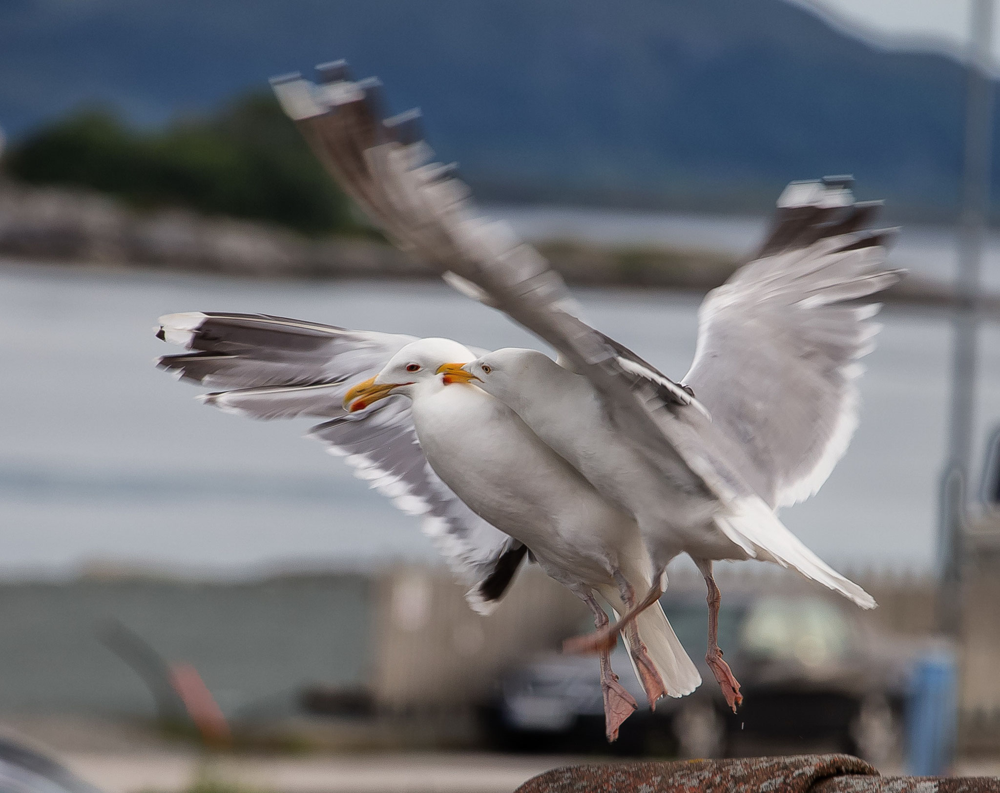 © Hans G. Lehmann | Seagulls near Atlanterhavsveien, Norway