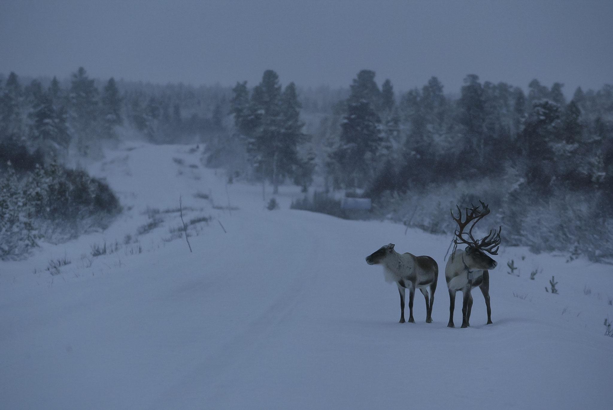 © Hans G. Lehmann | Rentiere am Polarkreis, Finnland