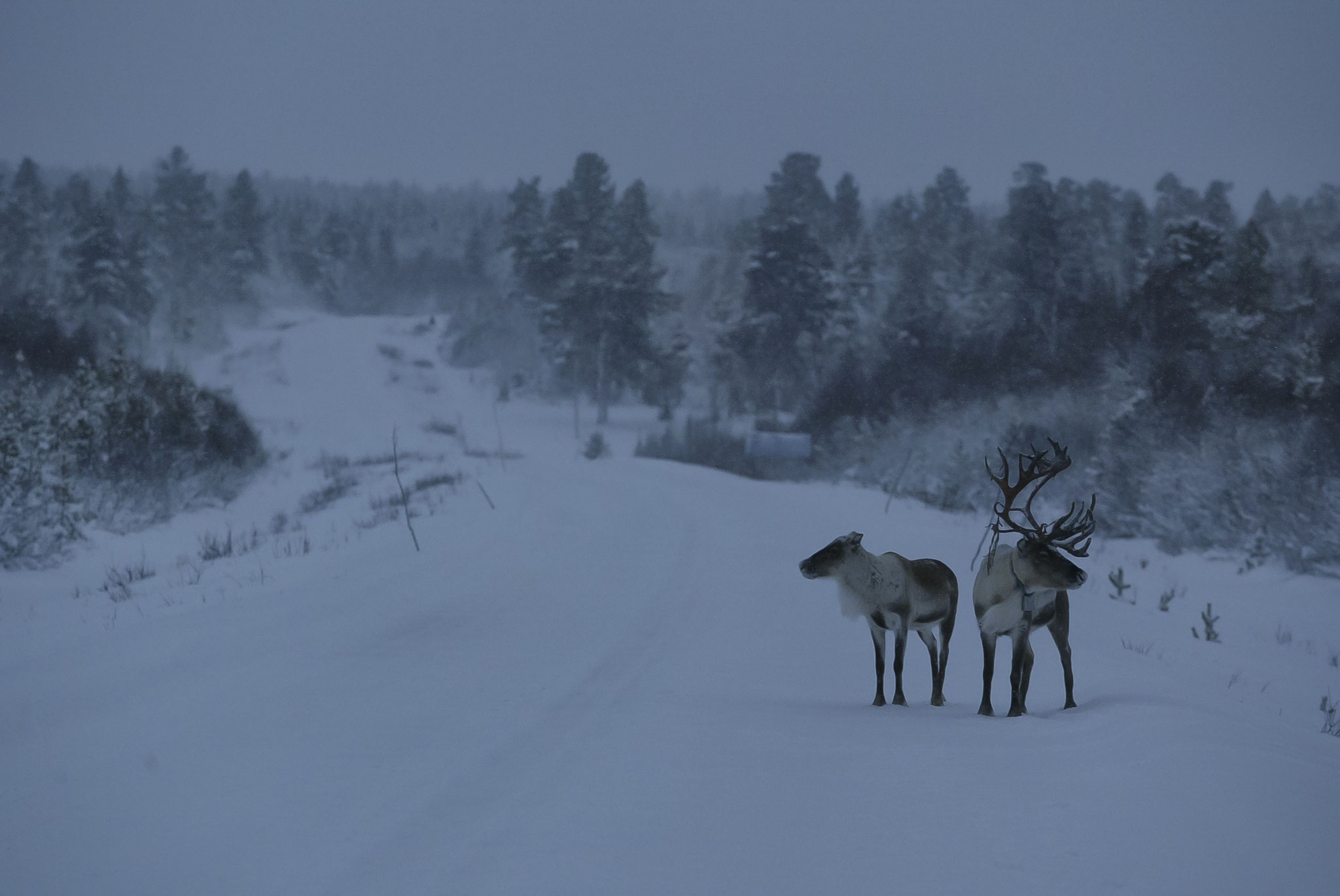 © Hans G. Lehmann | Reindeers near the Arctic Circle, Finland