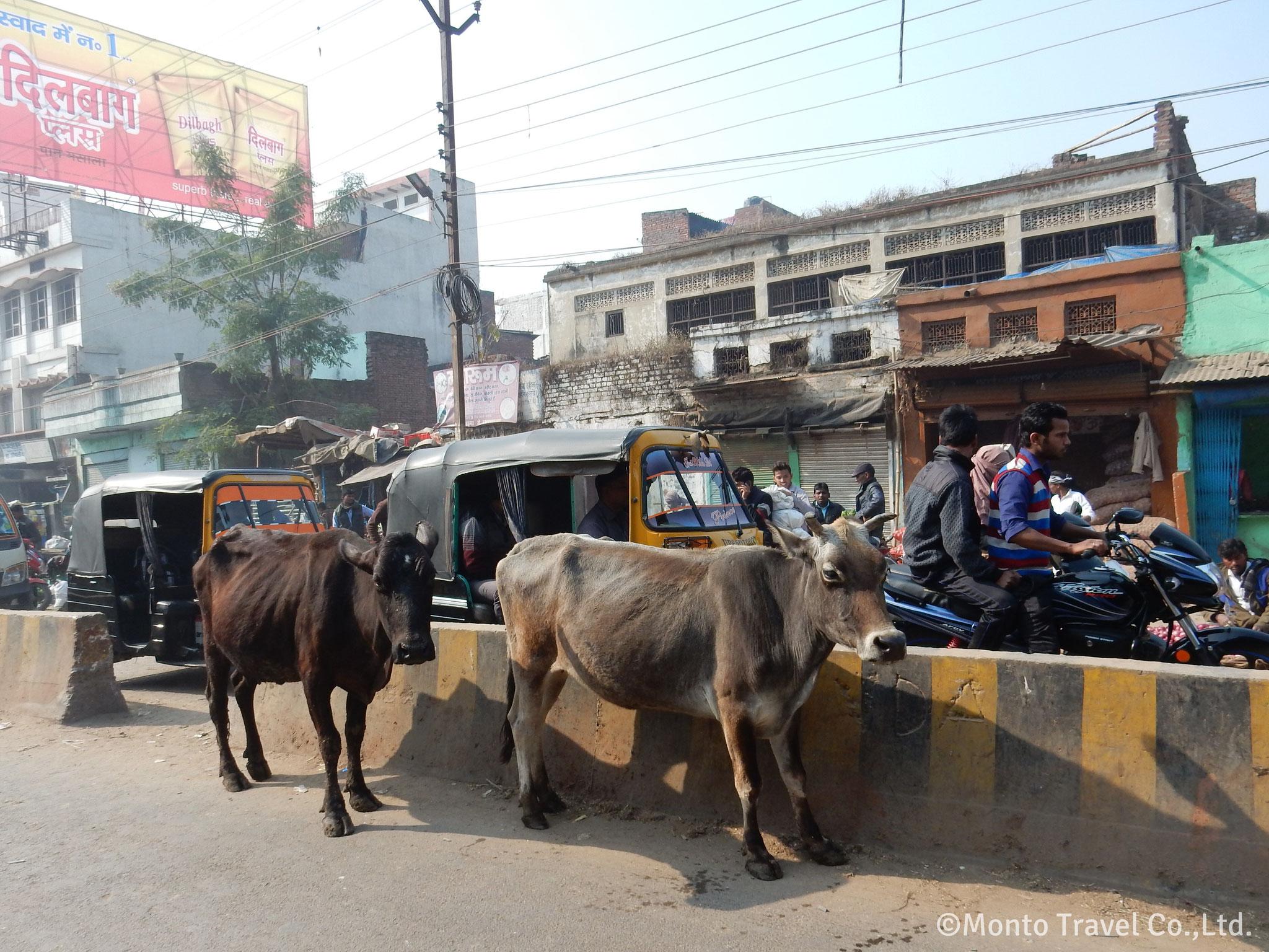 牛が悠然と歩く街角の風景