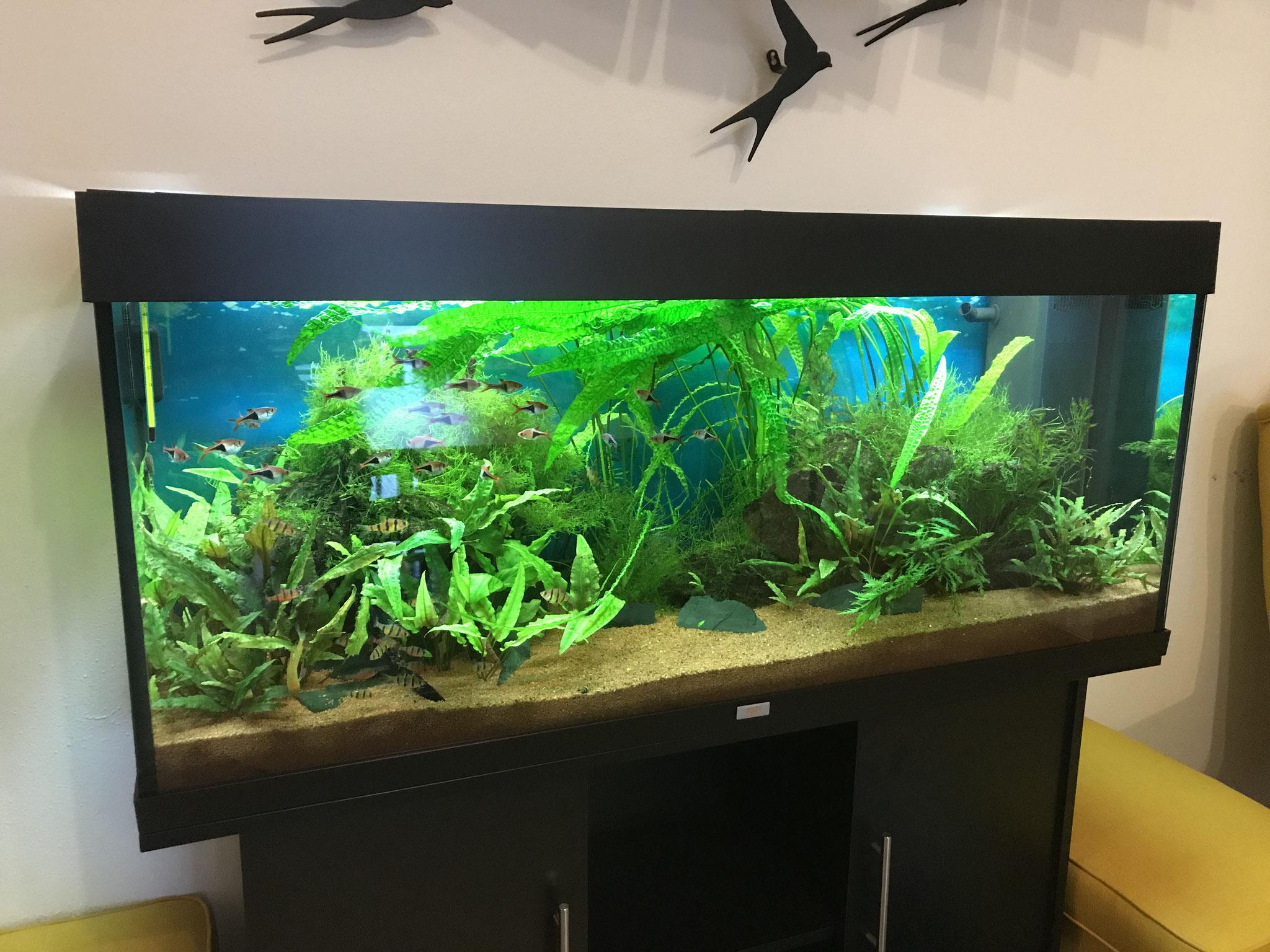 240 Liter Asienbecken mit Brokatbarben und Fünfgürtelbarben