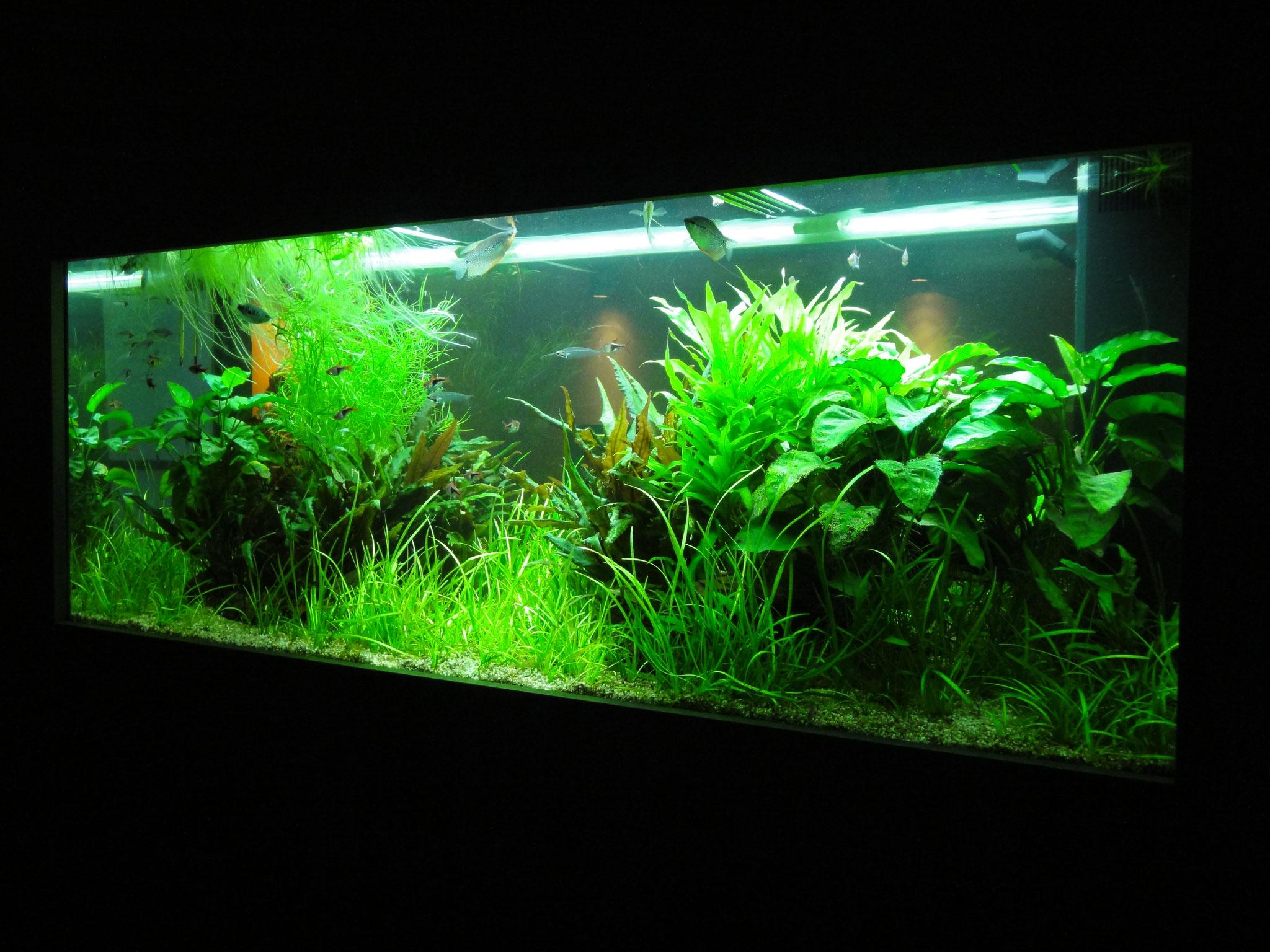 400 Liter Asienbecken mit Mosaikfadenfischen, Keilfleckbarben und Glaswelsen