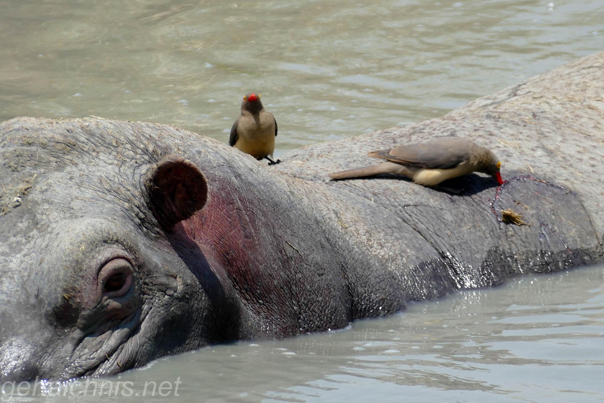 Madenhacker genießen den Schutz des Hippos, welches auch gleichzeitig Nahrung bietet