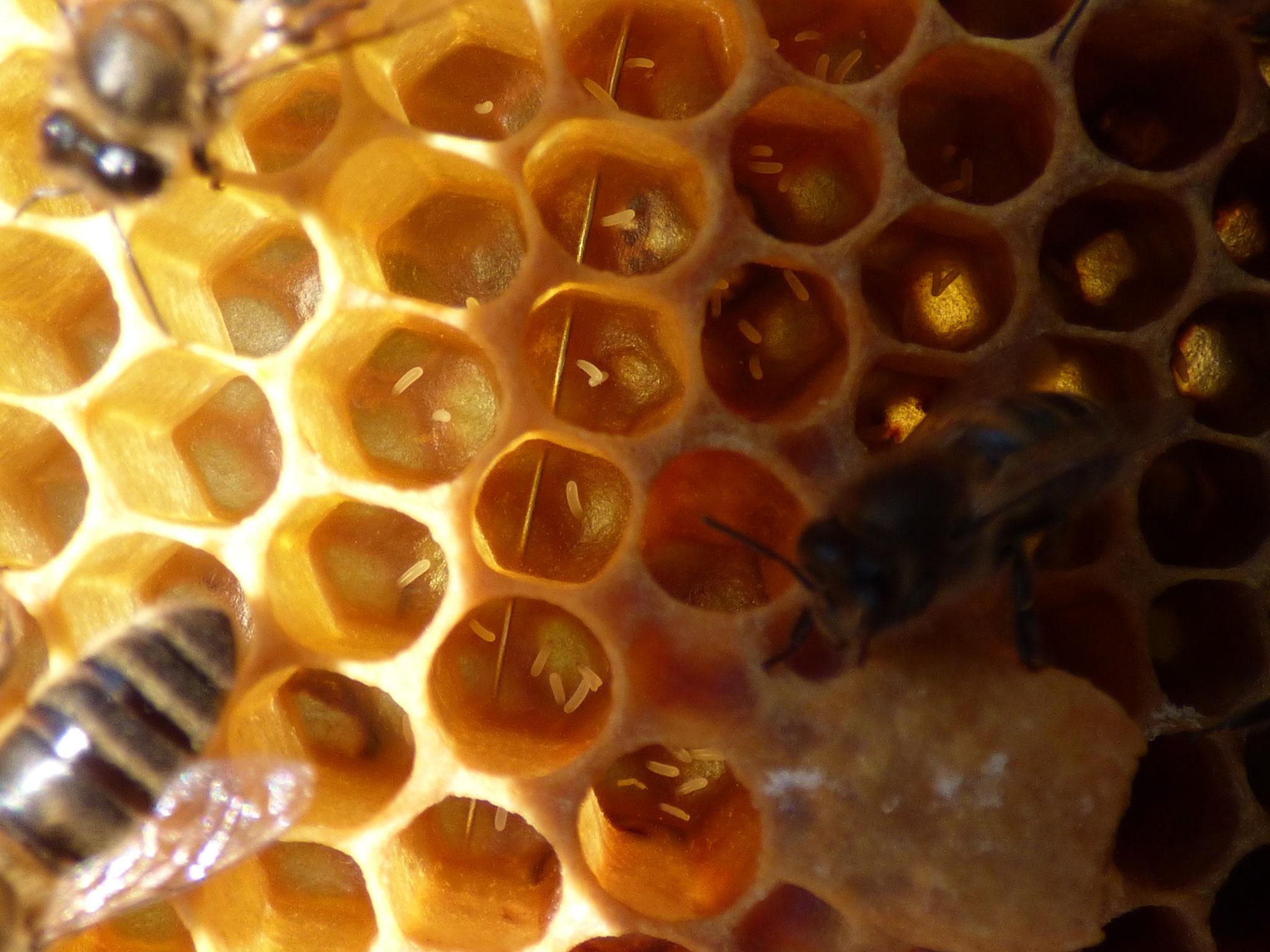 Ponte d'abeille de ruche bourdonneuse