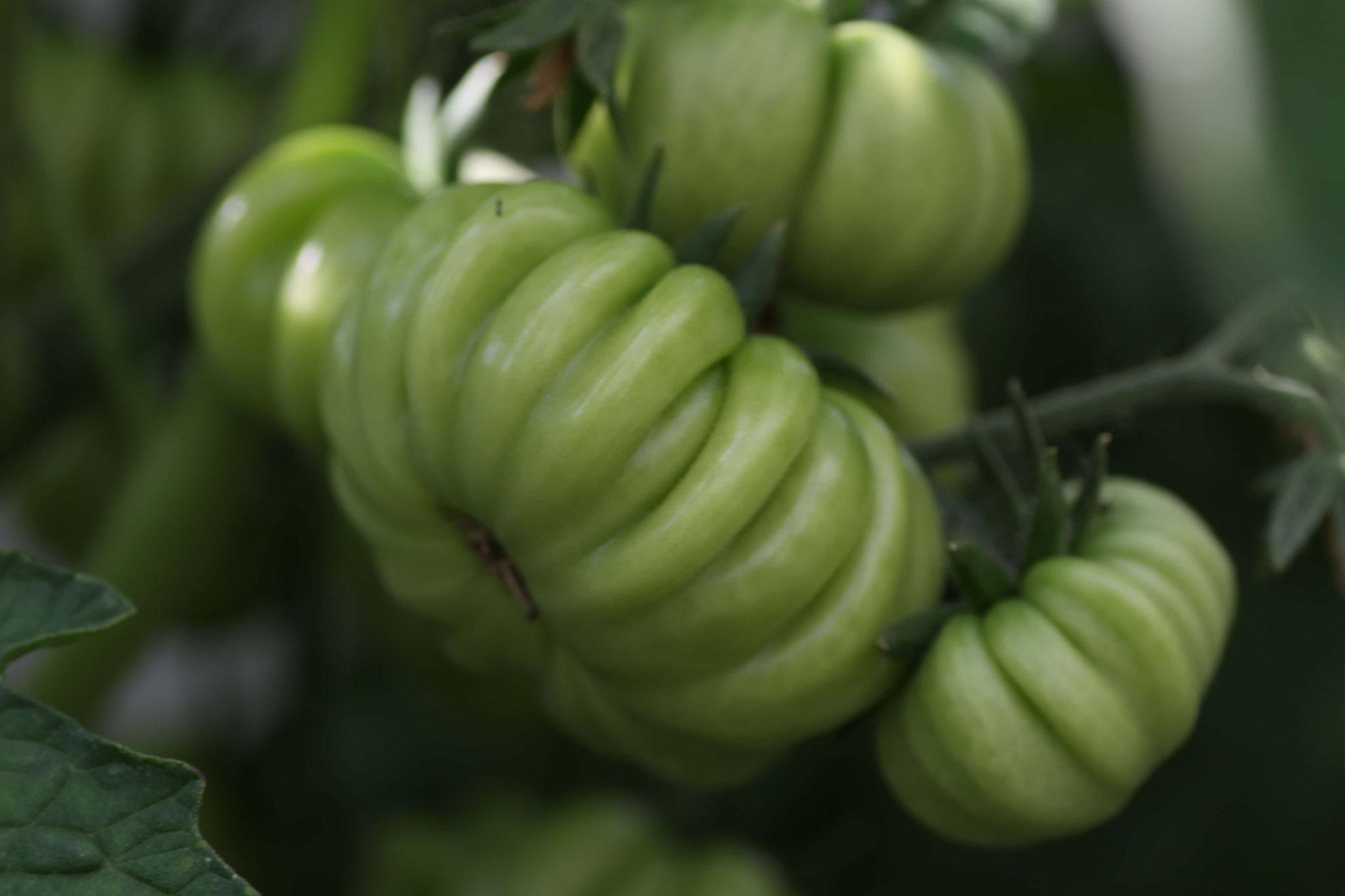 alte Tomatensorte