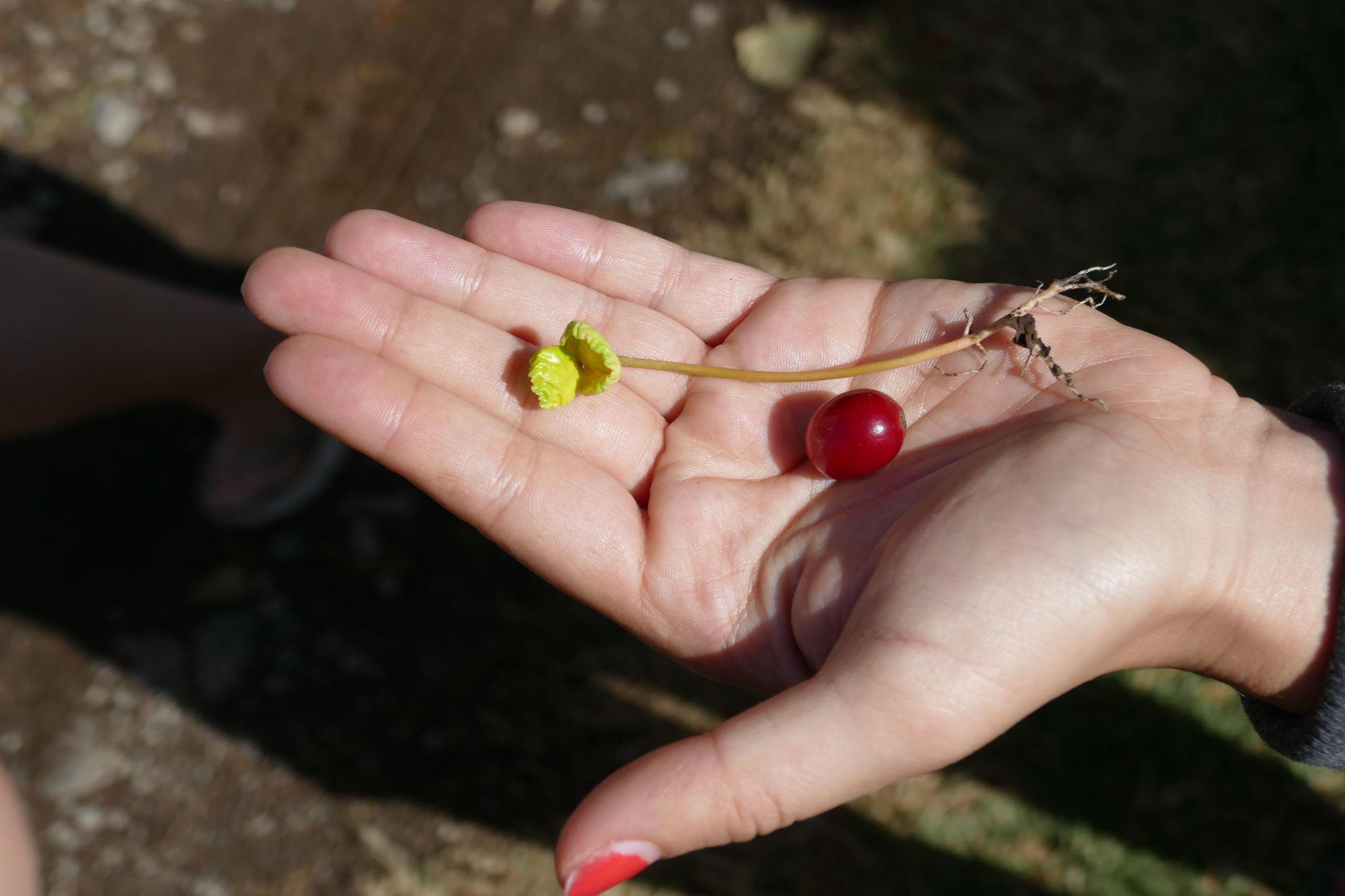 ... zur Frucht