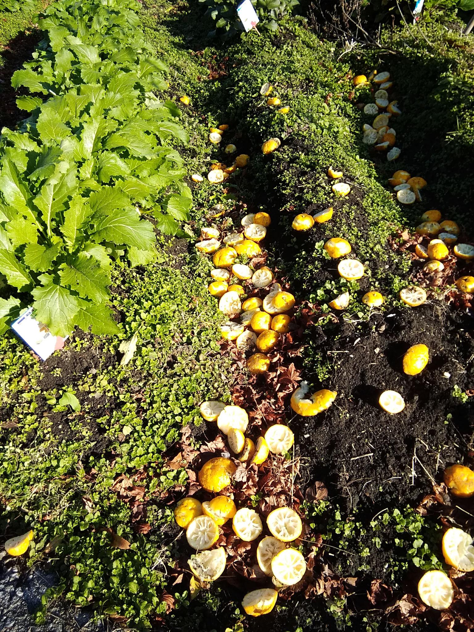 畑にまいた柚子の皮。柑橘類の皮は畑に良いそう。ただし、種を取っていれるべし!柚子が生えてきます。