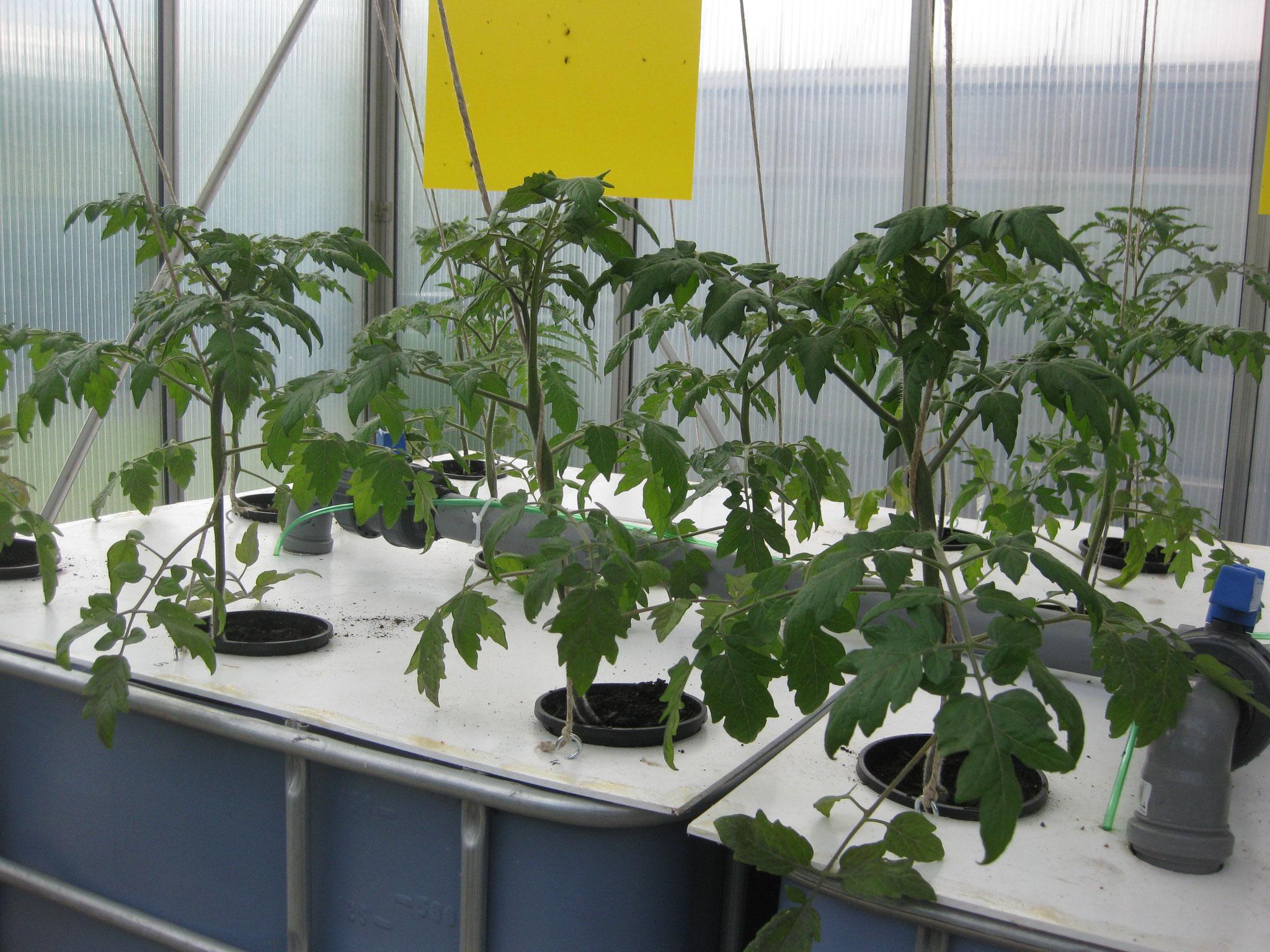 Tomaten in DWC