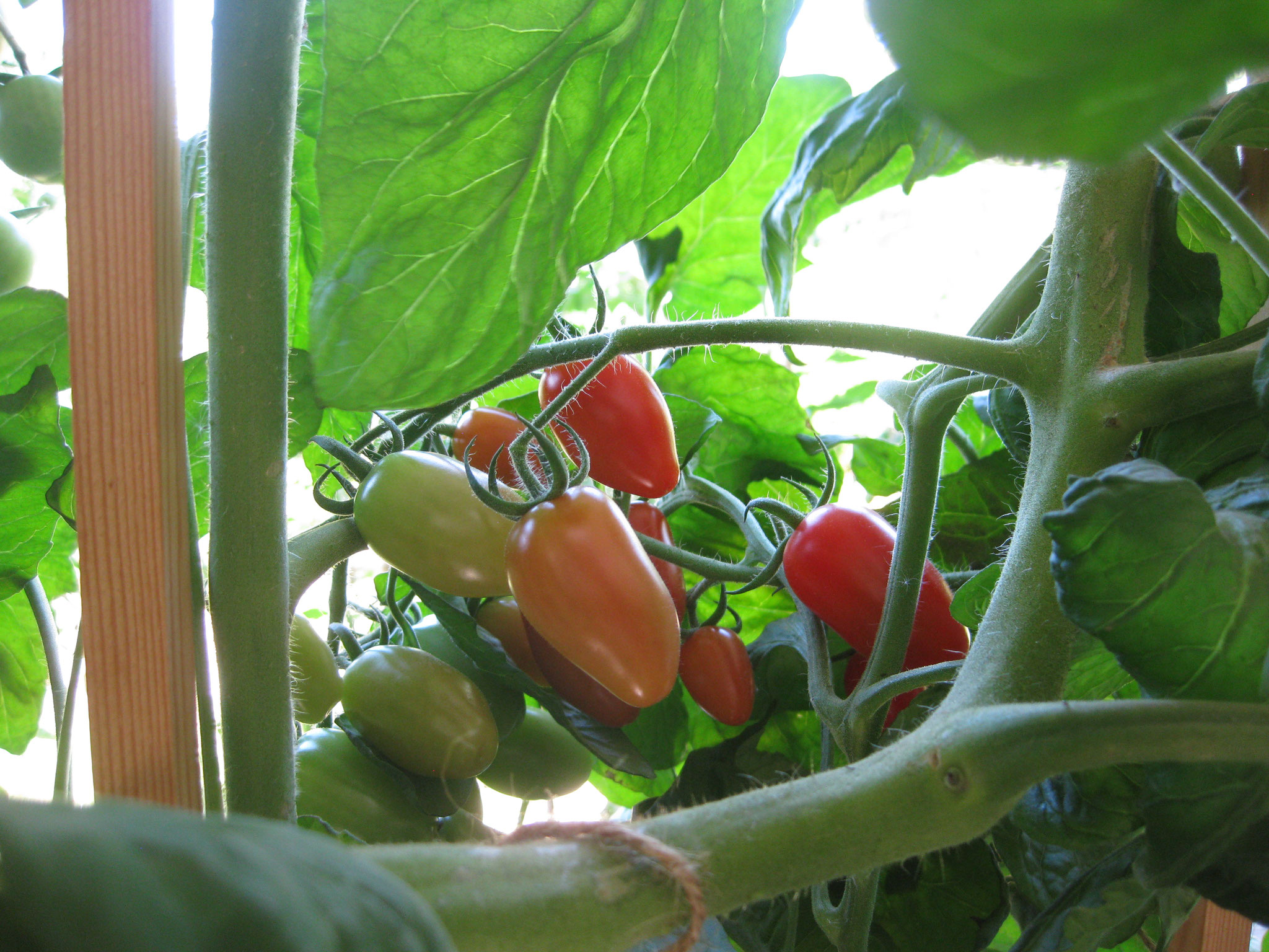 Aquaponik Tomate