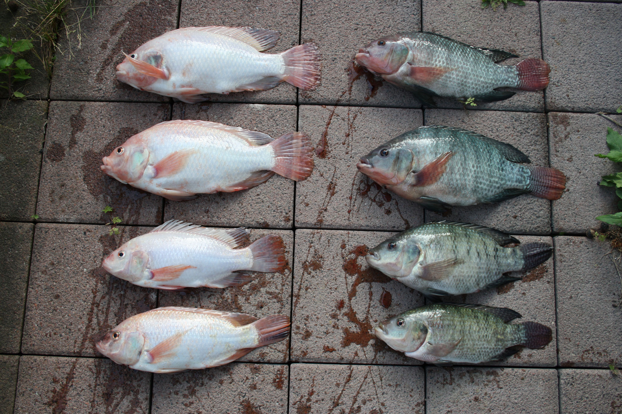 Red and green Tilapia