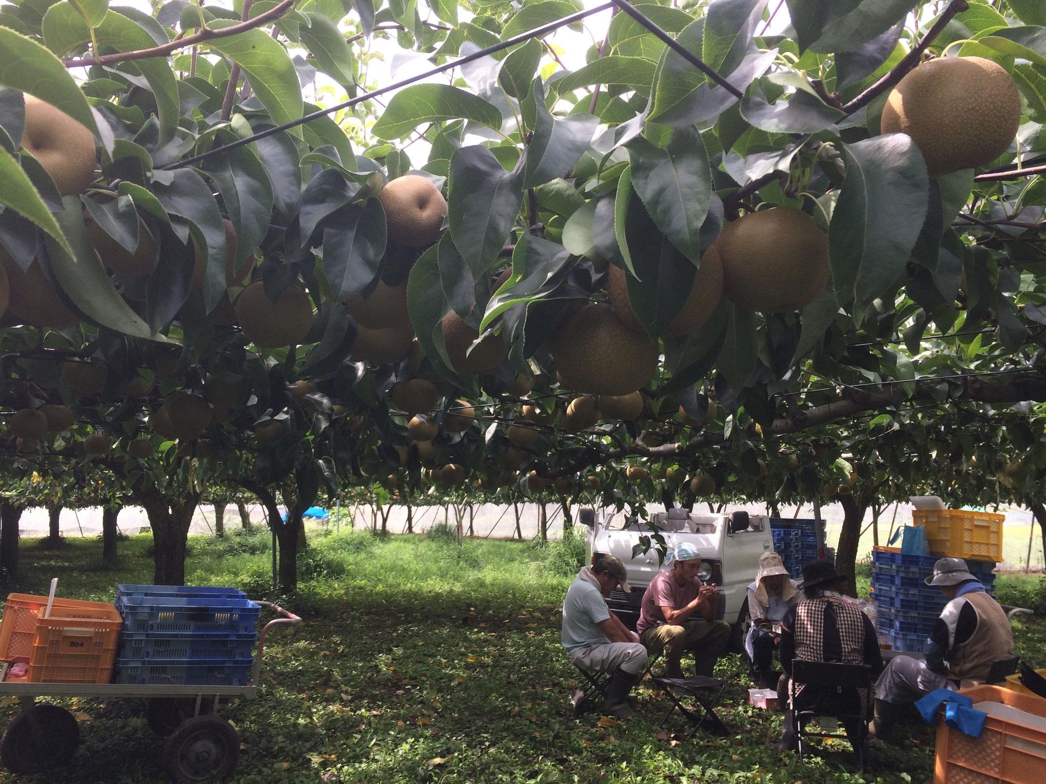宇都宮市内でも有数の果樹園地域が広がる