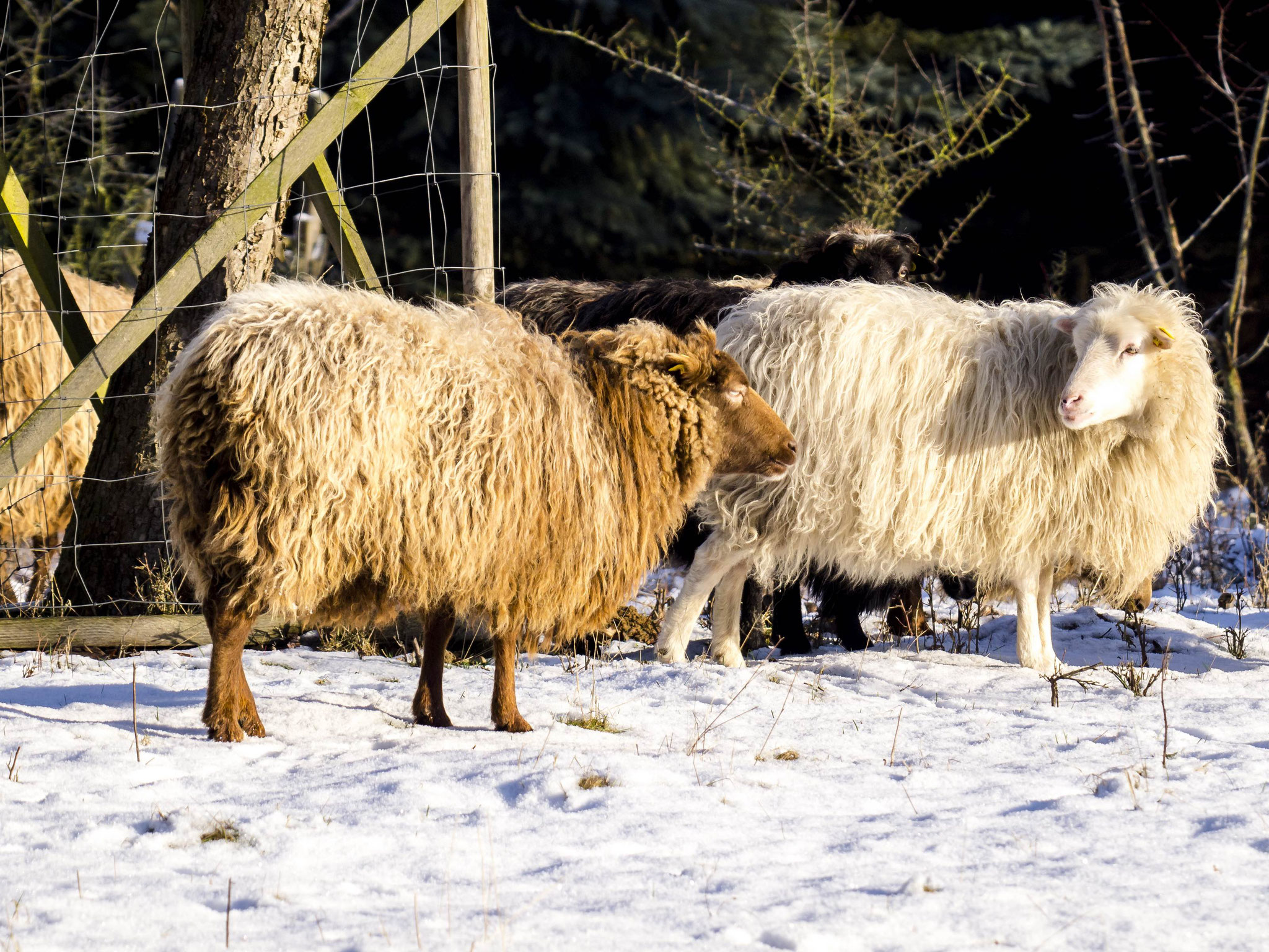 Durch ihr dichtes Fell sind die Skudden bestens vor Kälte geschützt.