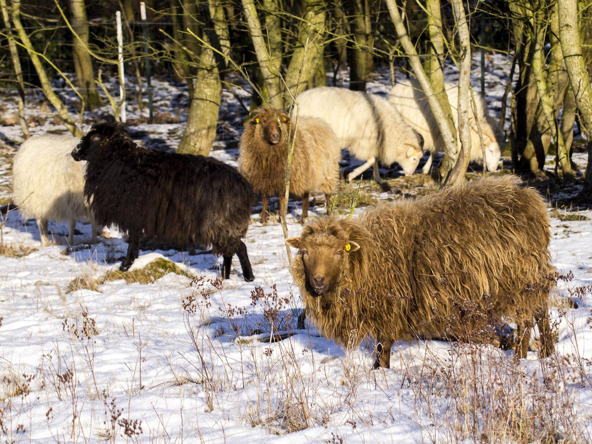 Als Schaf fühlt man sich auch im Winter draußen wohl... - Fotos: Kathy Büscher