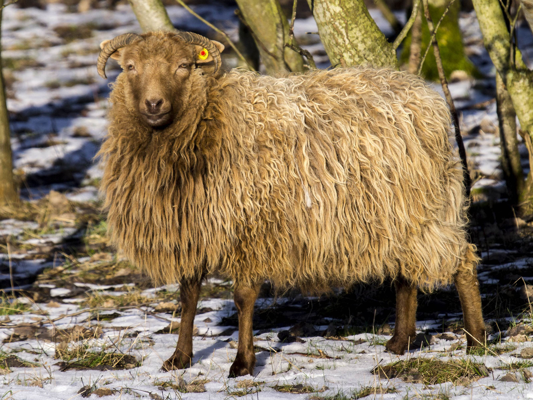Im Juni wird dieses dicke Fell geschoren und sorgt für Woll-Nachschub.