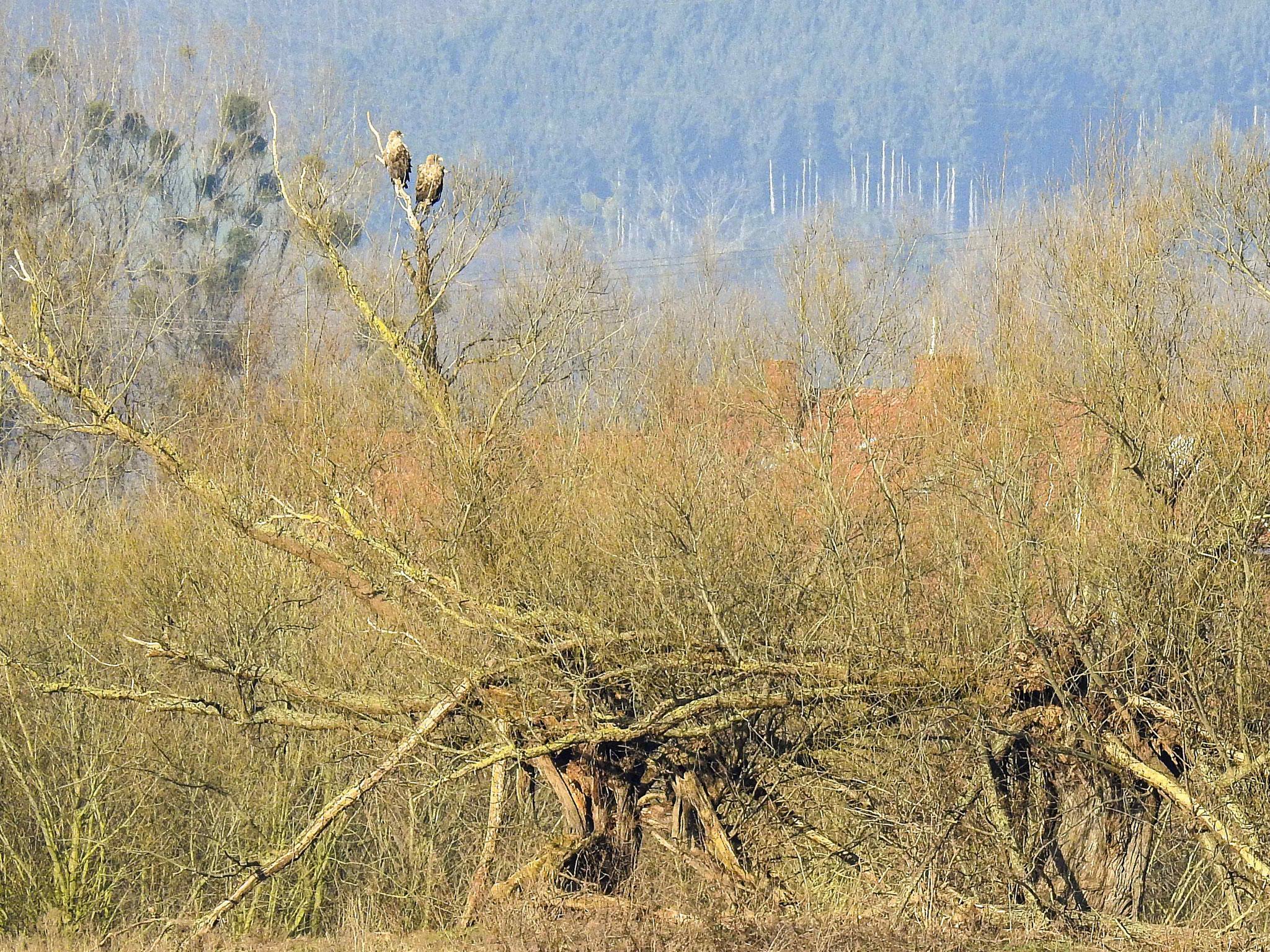Das Seeadlerpaar lässt sich gerne auf den beiden alten Kopfweiden nieder, die sich am anderen Ufer befinden.