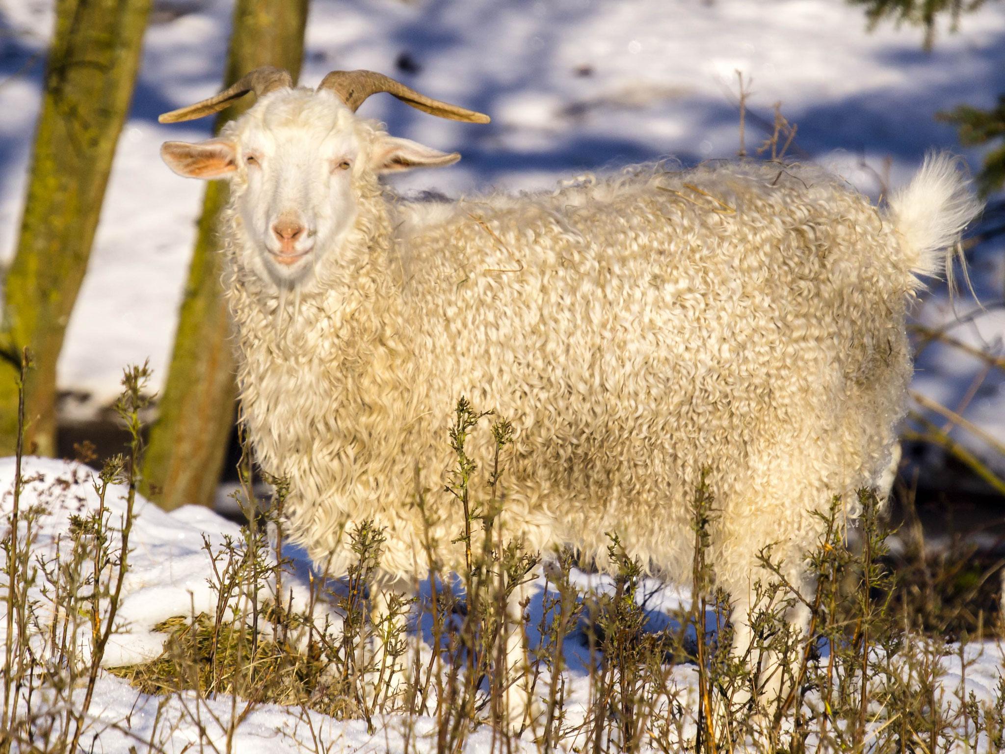 Auch diese Angora-Ziege fühlt sich im Winter draußen wohl.