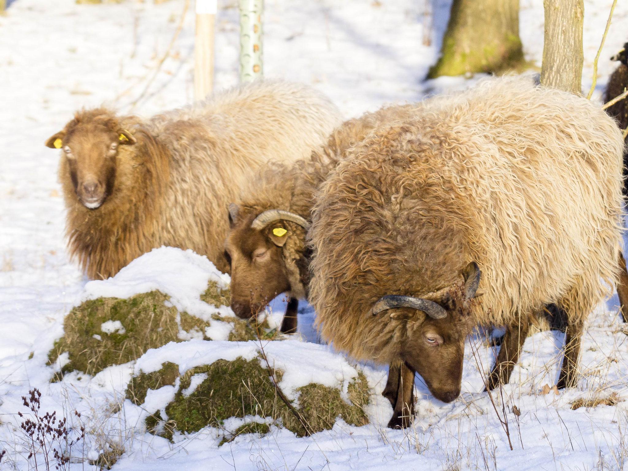 Auch unter der Schneedecke finden sie etwas zu knabbern.
