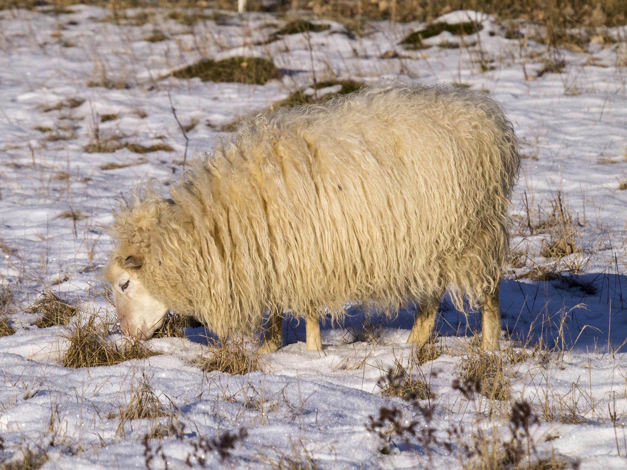 Unter der Schnee-Decke wird nach Grünzeug gesucht...