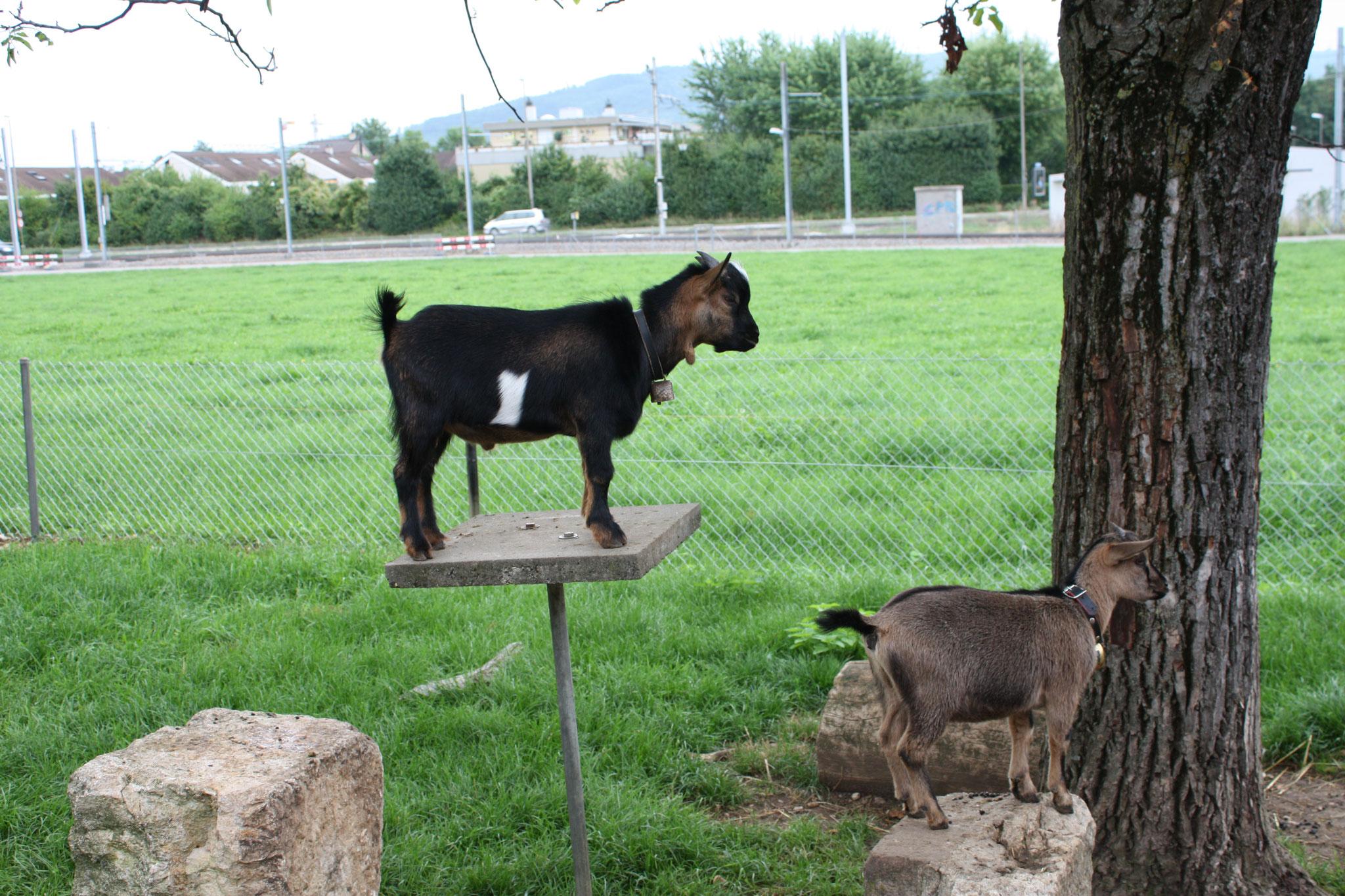 Pets: miniature goats...