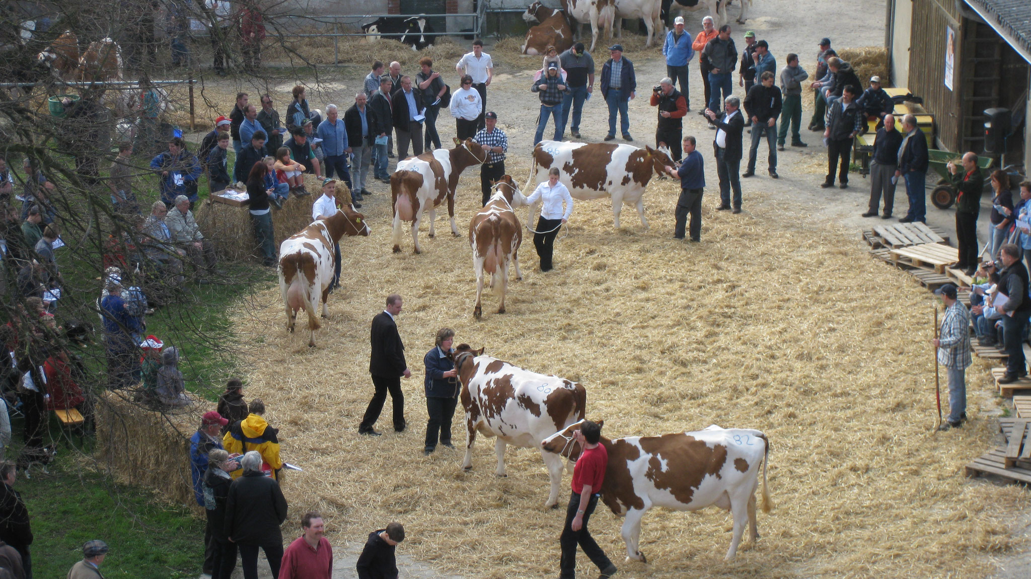 regional cattle show