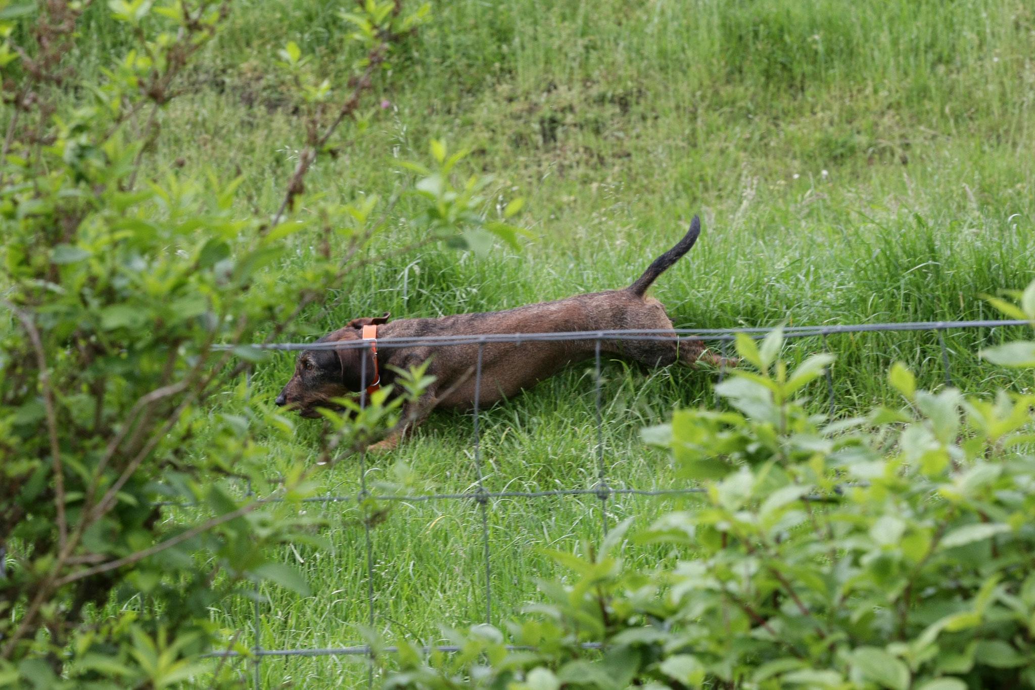 Quinn beim Verloren suchen von einem Fuchsapportel