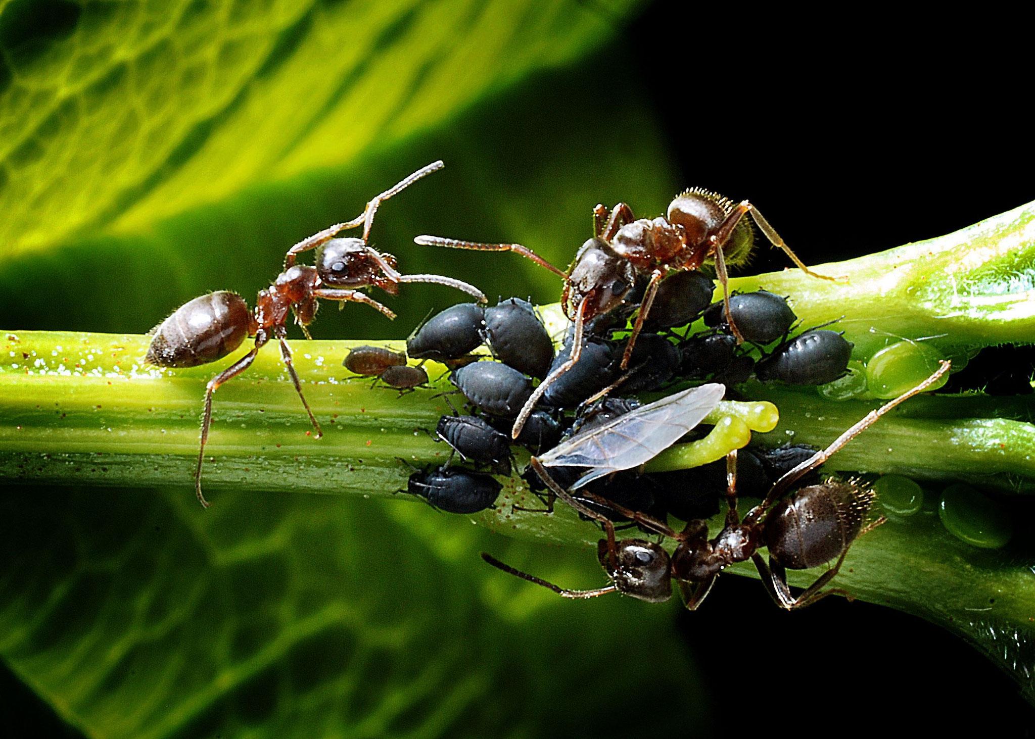 Ameisen melken Blattläuse - und beschützen sie dafür vor Feinden
