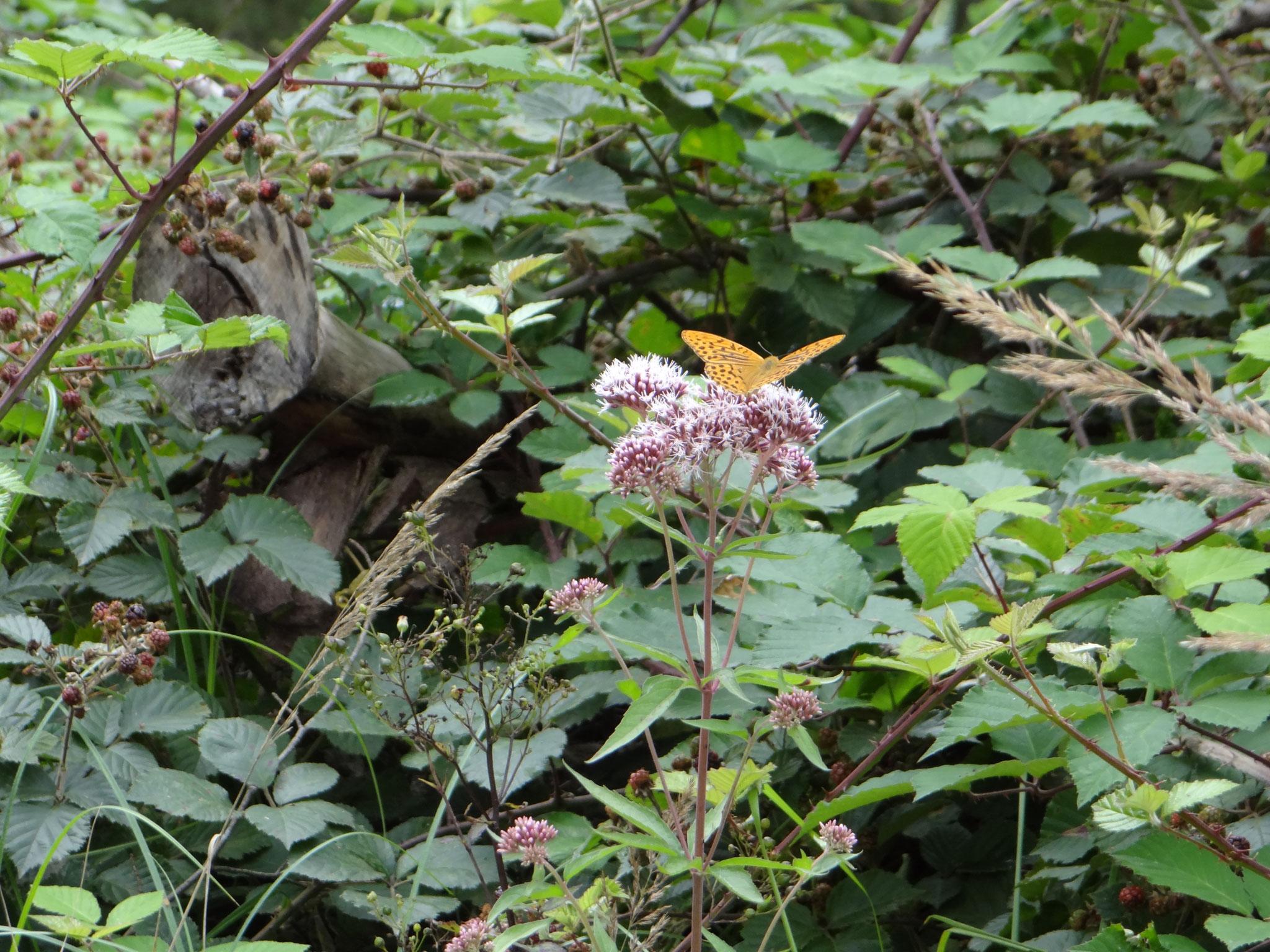 Der Kaisermantel liebt Waldränder und offene Waldwege