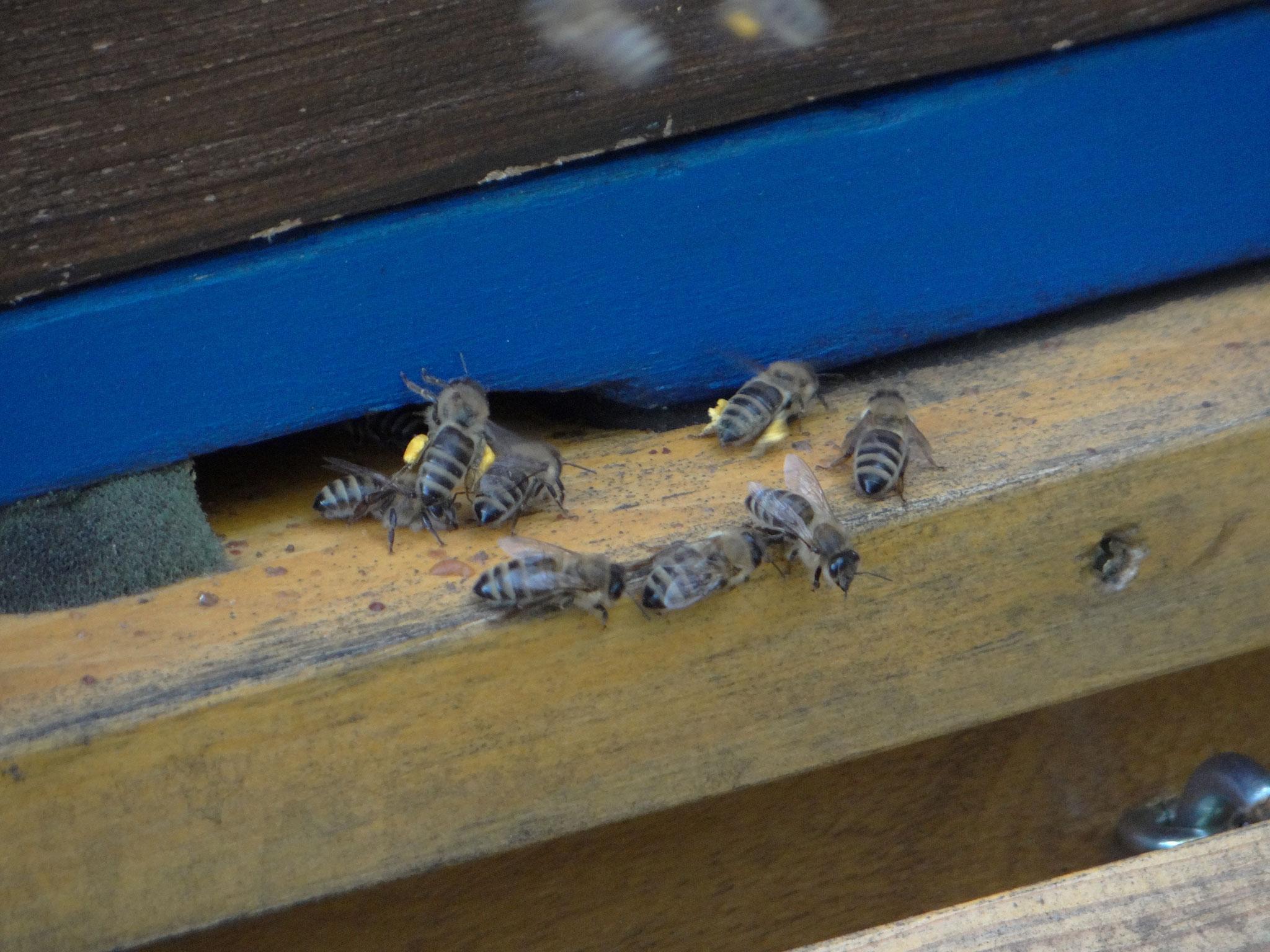 Mit der Zoomfunktion konnten interessante Entdeckungen gemacht werden, wie die mit Pollen gefüllten Höschen der Honigbienen