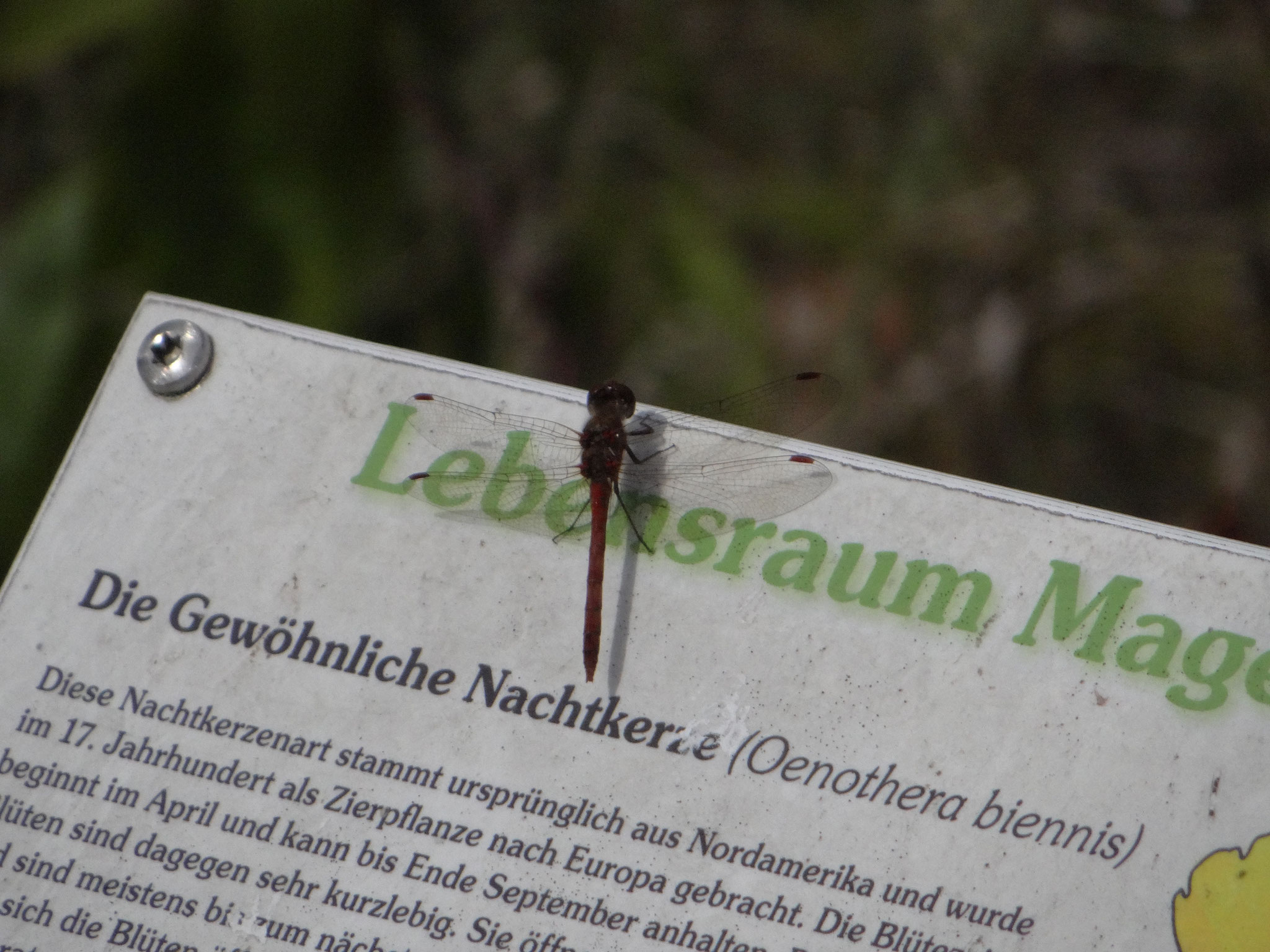Von den zahlreichen Libellen im Naturerlebnisgarten konnten einige fotografiert werden