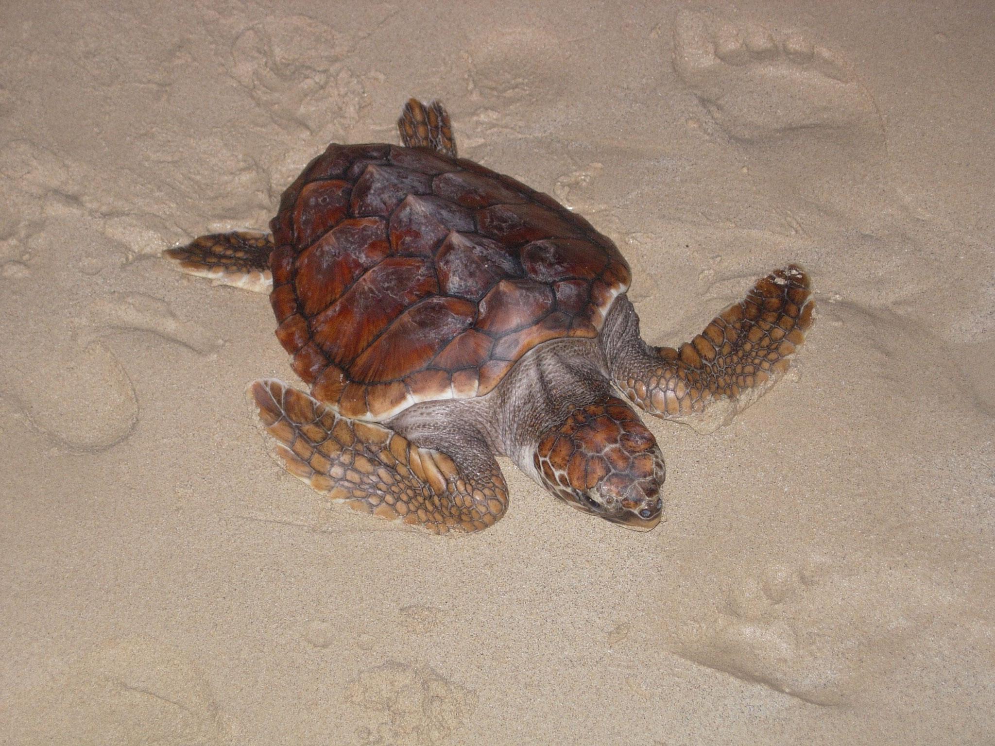 Caretta Caretta - Unechte Karettschildkröte