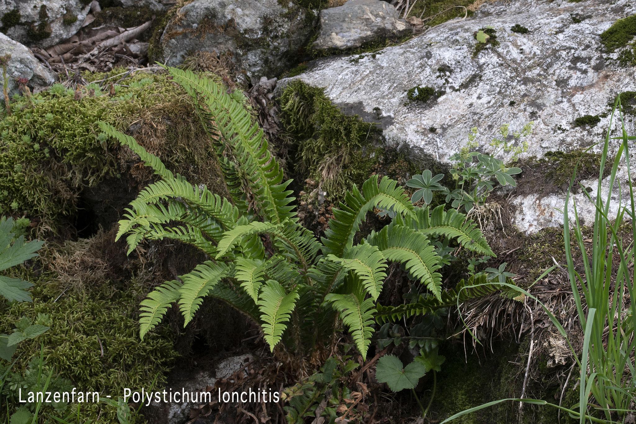 Lanzenfarn  •  Polystichum lonchitis.
