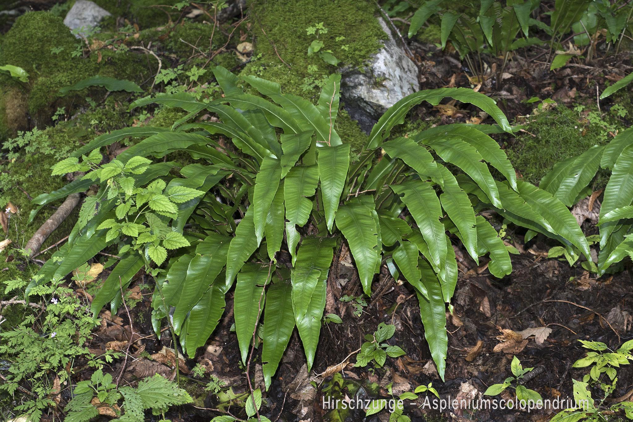 Hirschzunge  •  Asplenium scolopendrium.