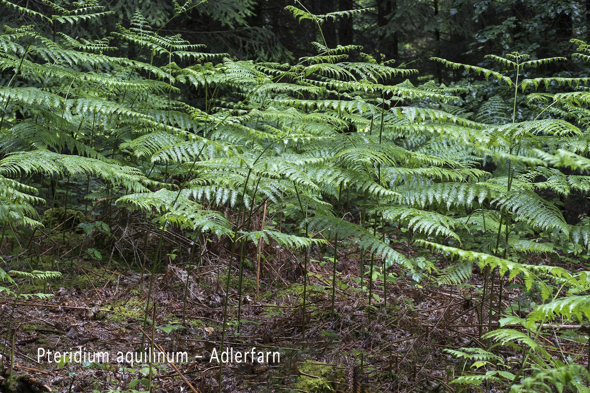 Adlerfarn  •  Pteridium aquilinum.
