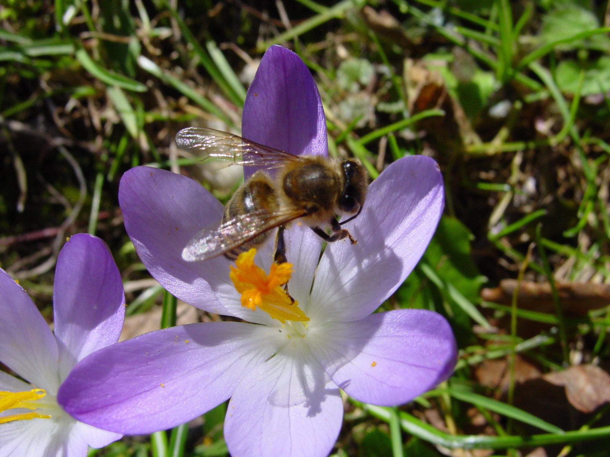 Eine dunkle Biene im Flug über einen Krokus.