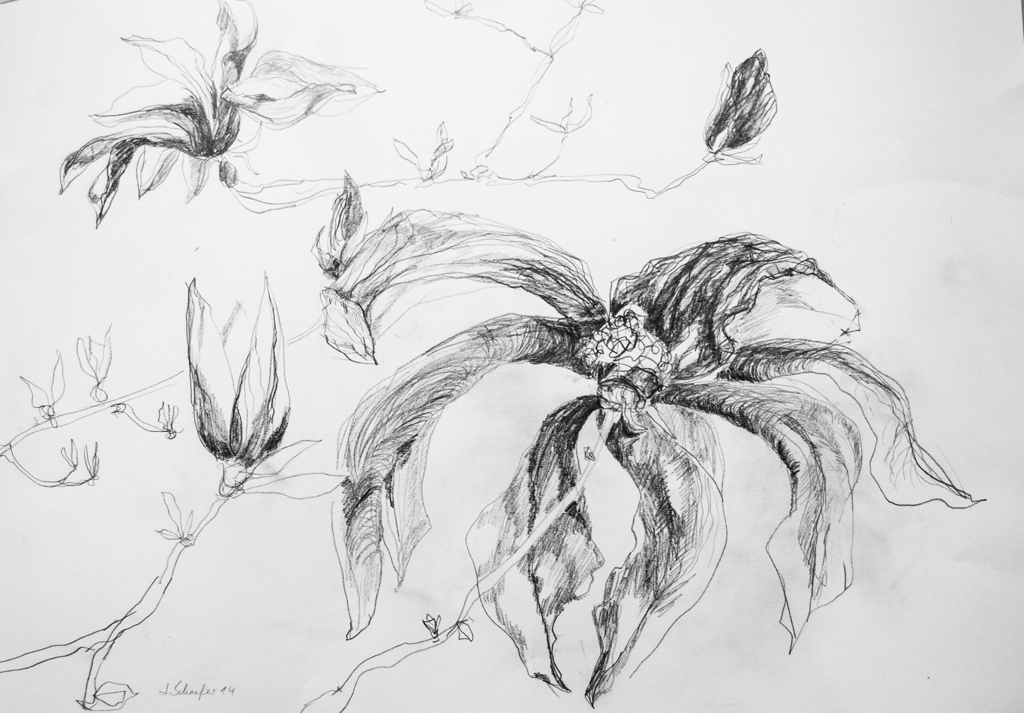 Blüte, 2014, Bleistift auf Papier,42 x 59 cm