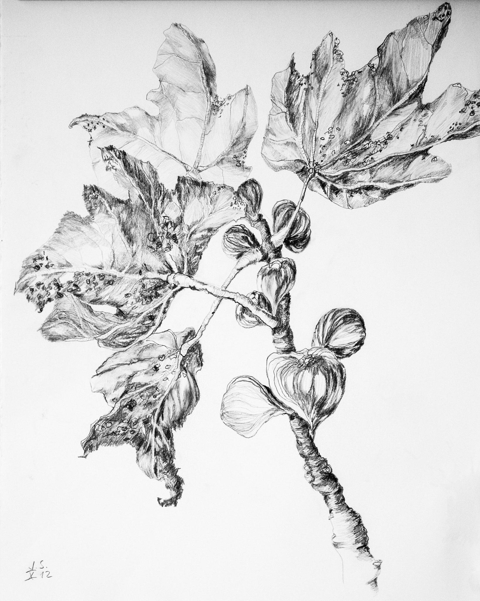 Feige, 2012, Bleistift auf Papier, 59 x 42 cm